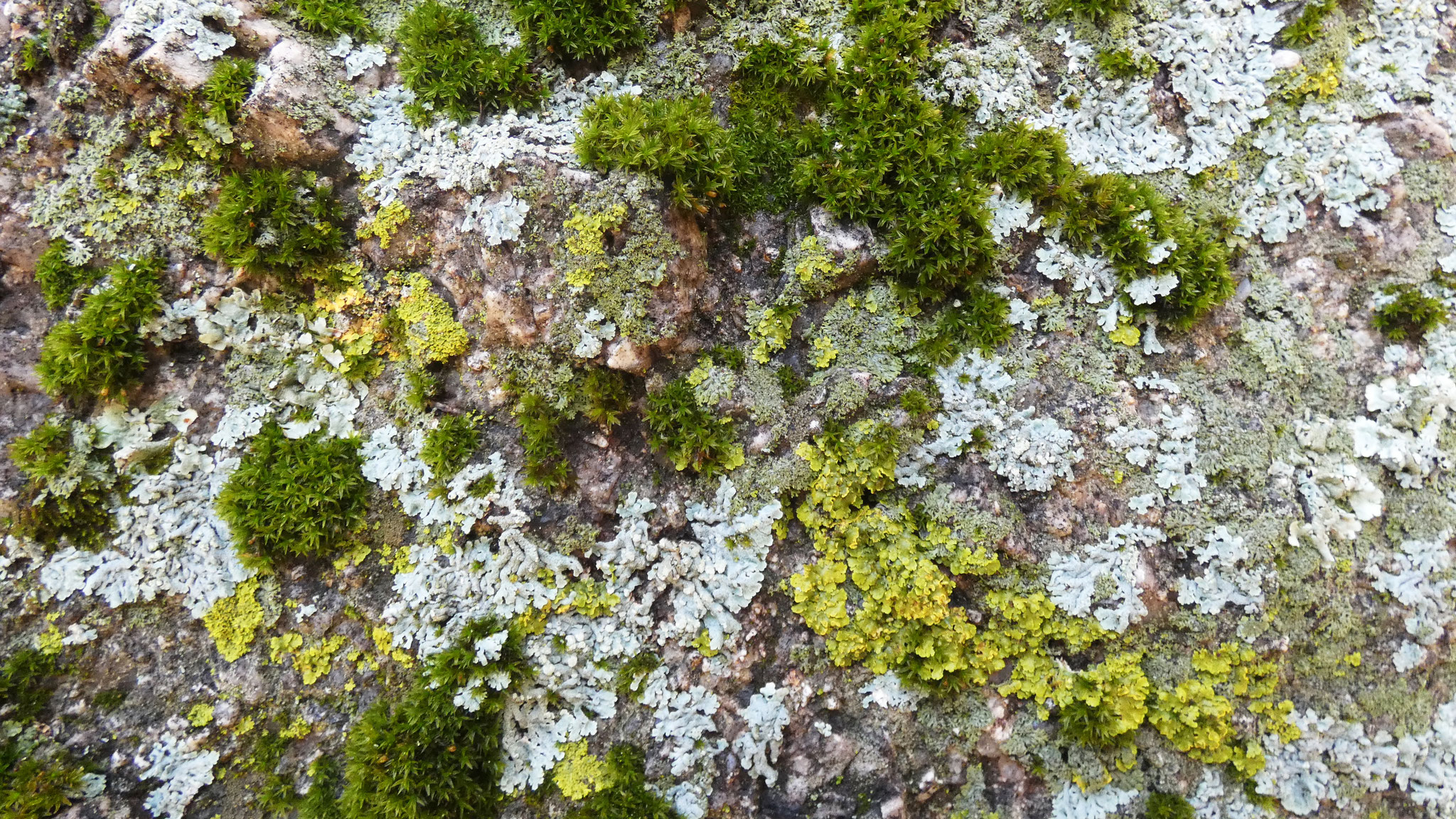 Lichens and moss on granite