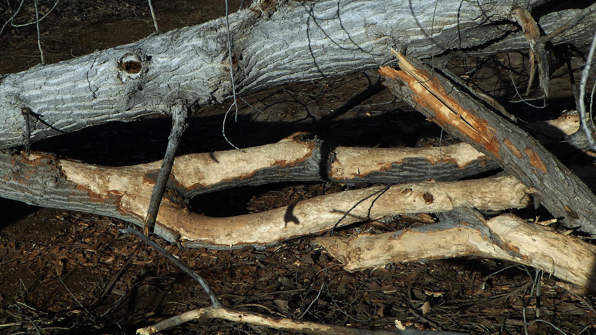 Stripped felled tree, Rio Grande Bosque, Corrales, January 2019