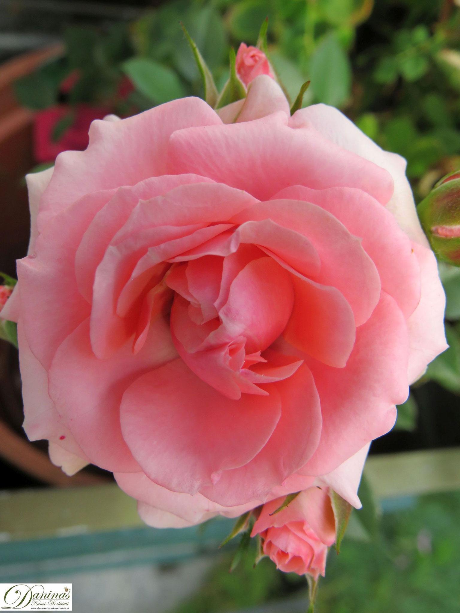 Im Rosengarten - zartrosa Rose