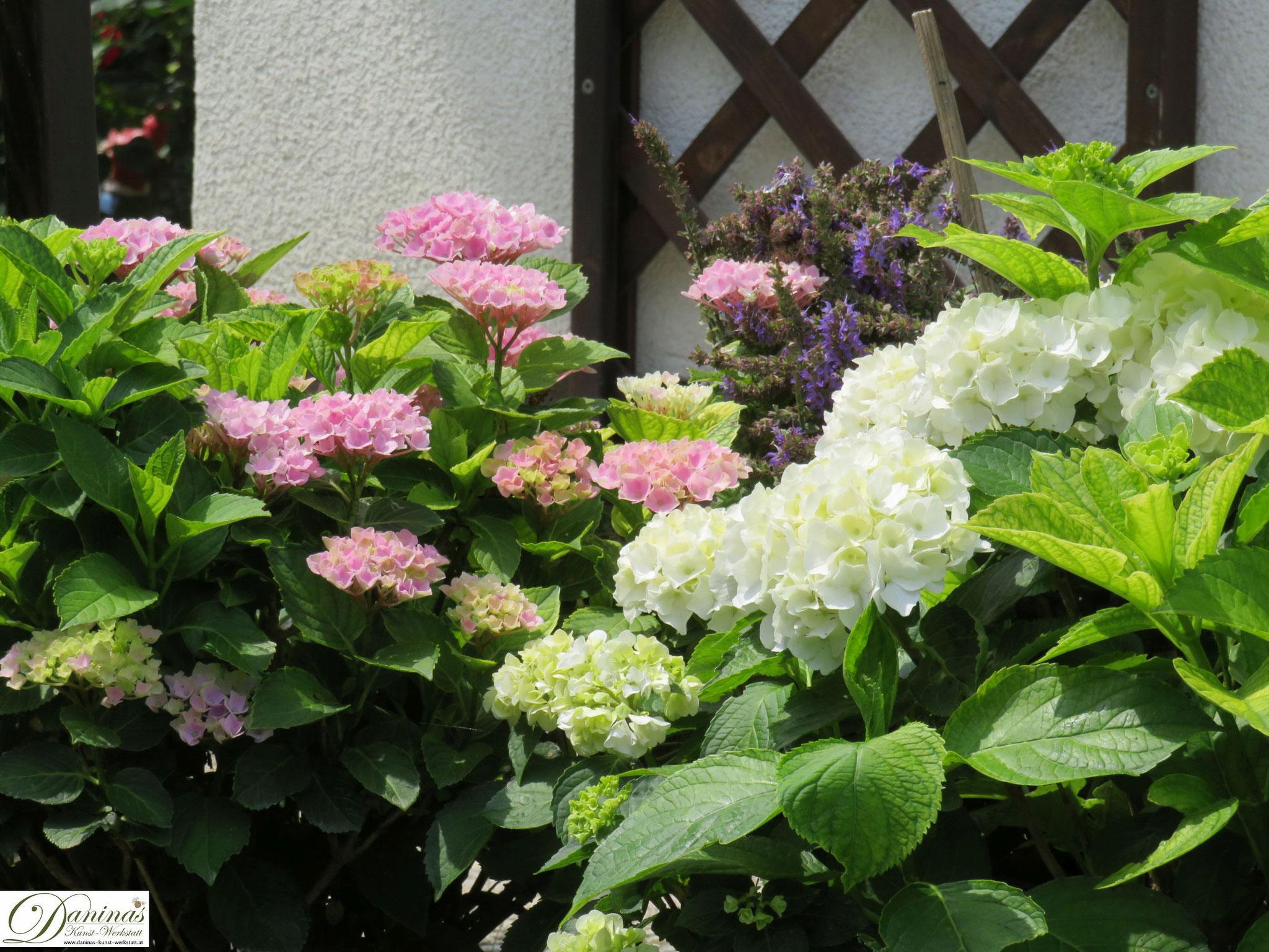 Romantisches Gartenbeet mit rosa und weißen Hortensien