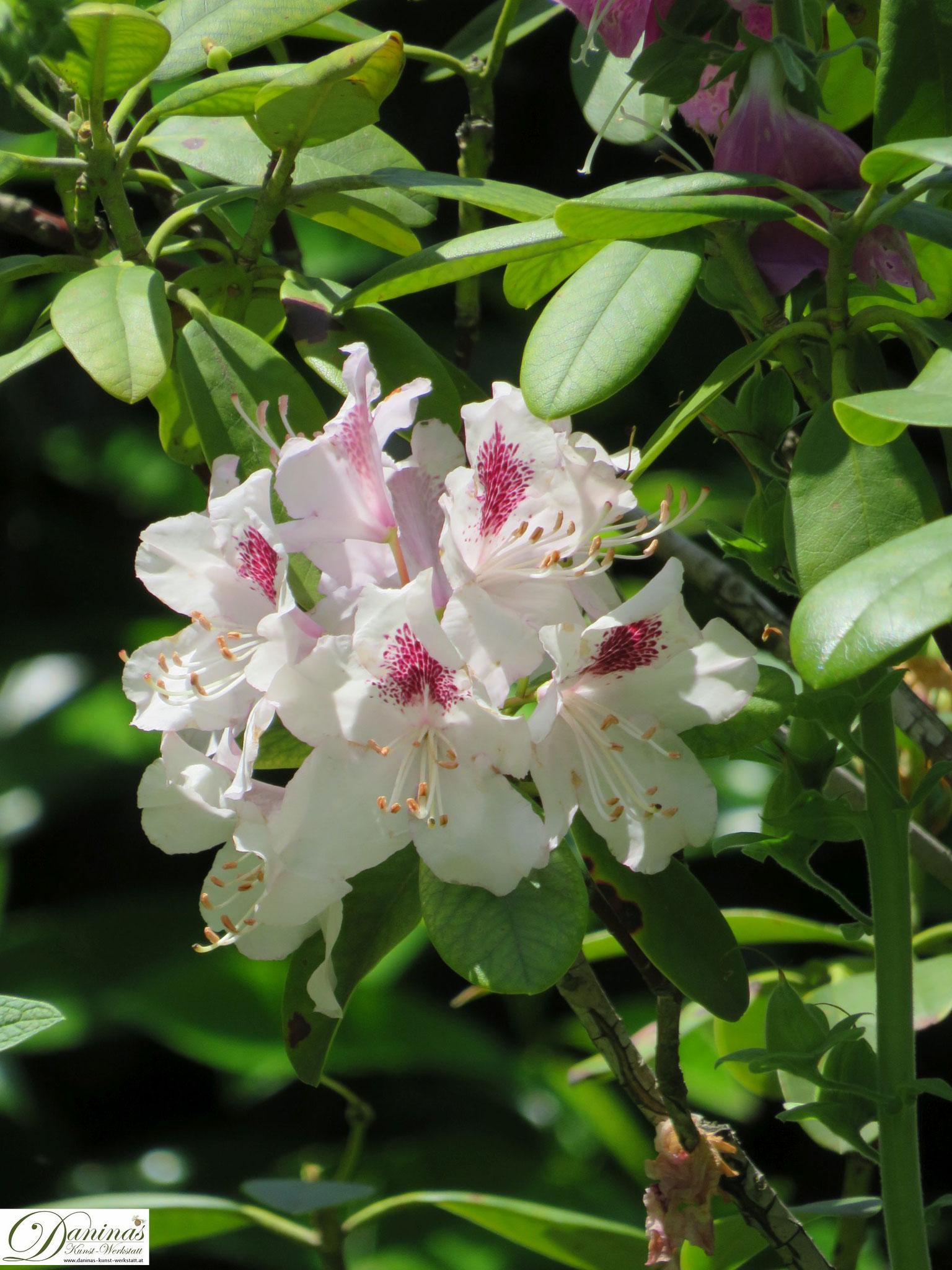 Rhododendron weiß - Garten Impressionen im Frühsommer by Daninas-Kunst-Werkstatt.at