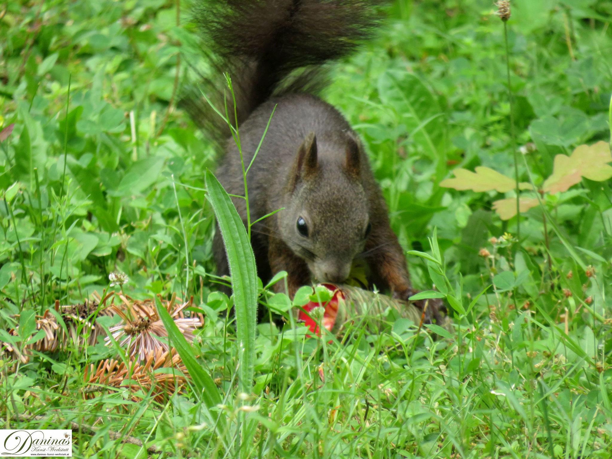 Eichhörnchen frisst die Samen der Fichtenzapfen