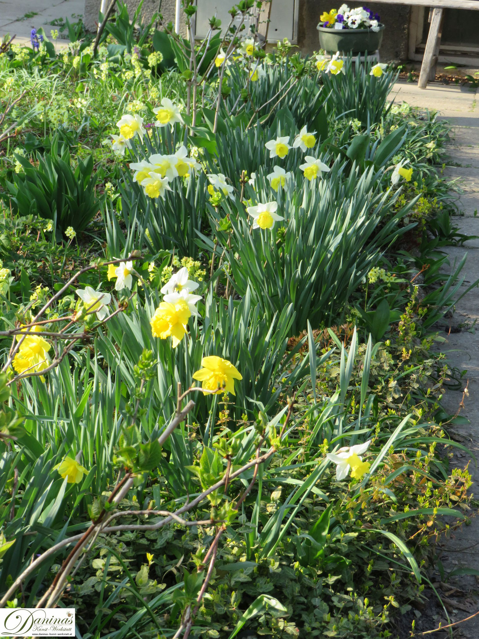 Garten im Frühling - Frühlingsblumen im Beet. Gelbe Märzenbecher.