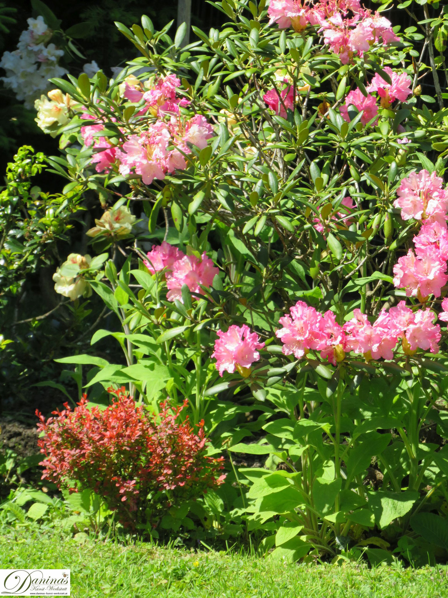 Rhododendron rosa und gelb - Garten Impressionen im Frühsommer by Daninas-Kunst-Werkstatt.at