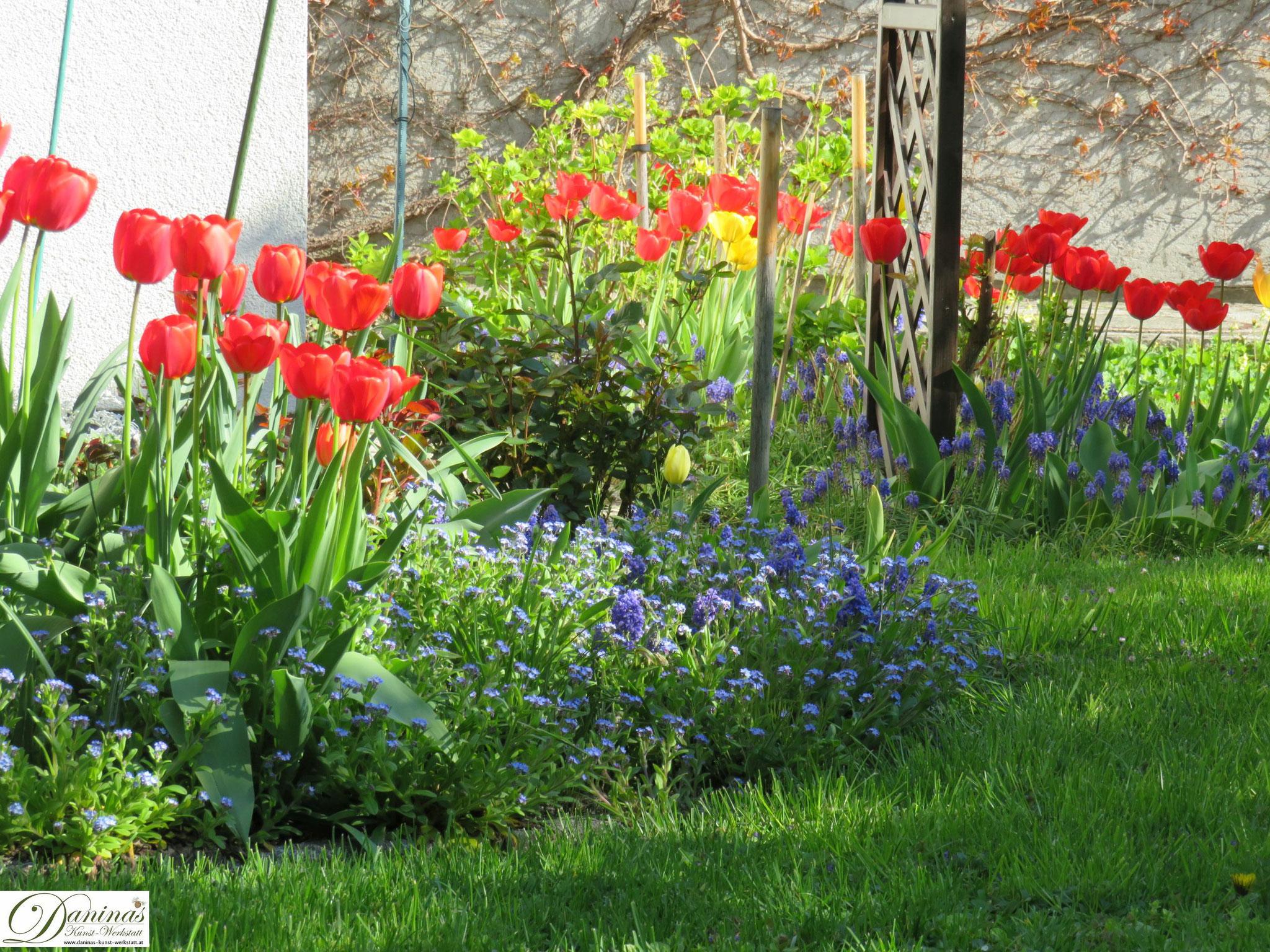 Garten im Frühling - Frühlingsblumen im Beet. Tulpen, Traubenhyazinthen & Vergissmeinnicht