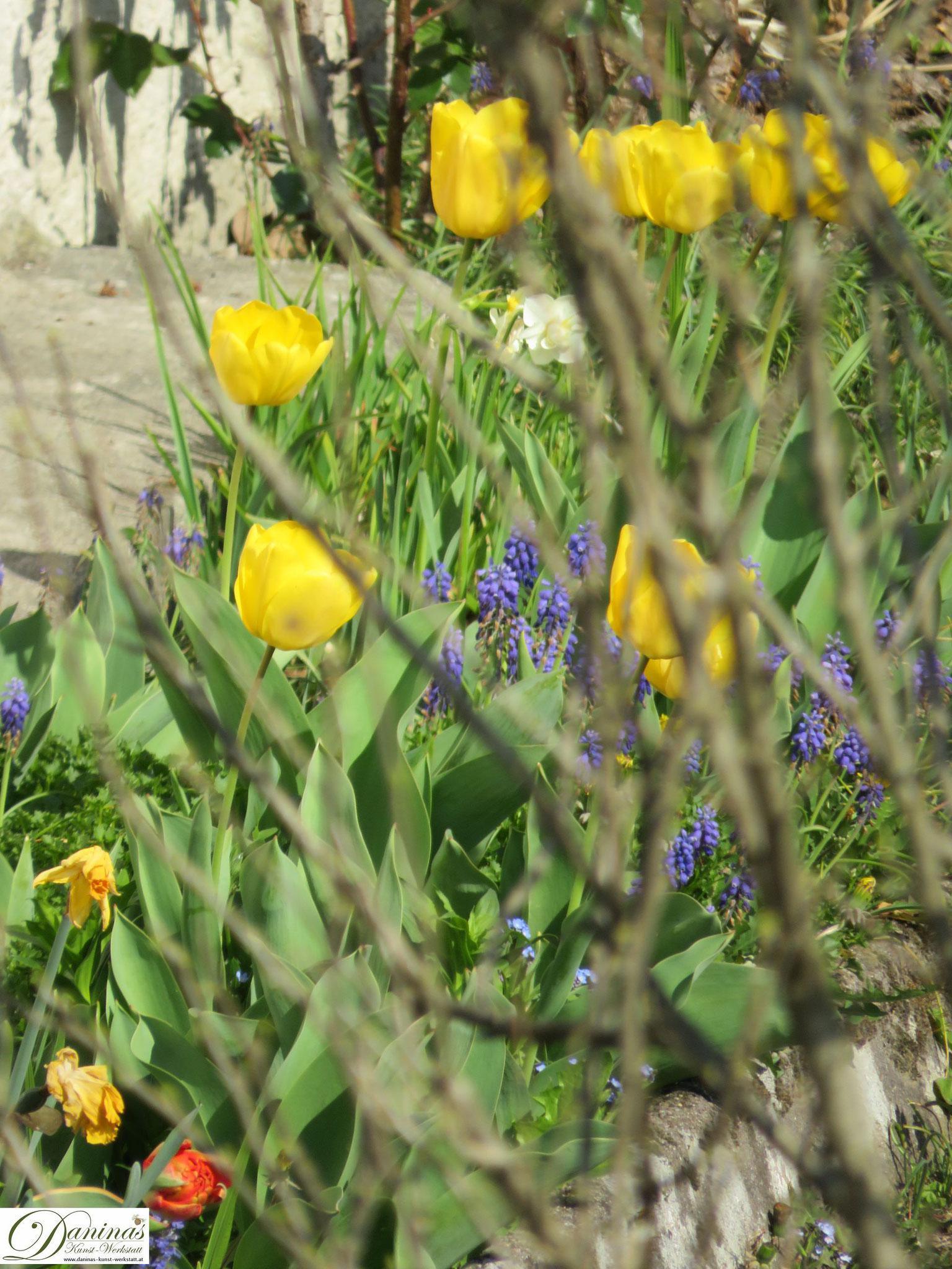 Garten im Frühling - Frühlingsblumen im Beet. Gelbe Tulpen und Traubenhyazinthen