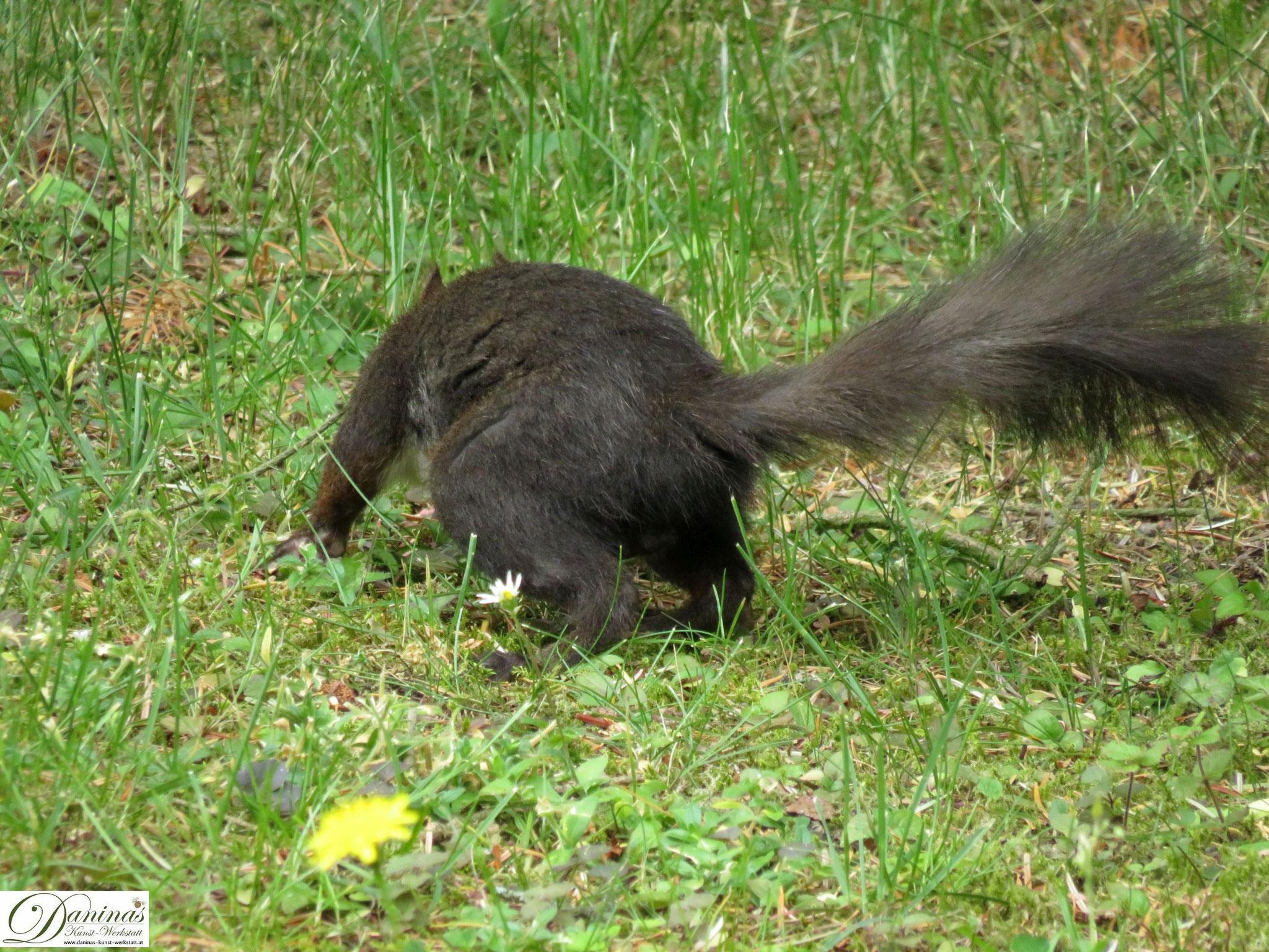 Flinkes Eichhörnchen auf Nahrungssuche im Garten