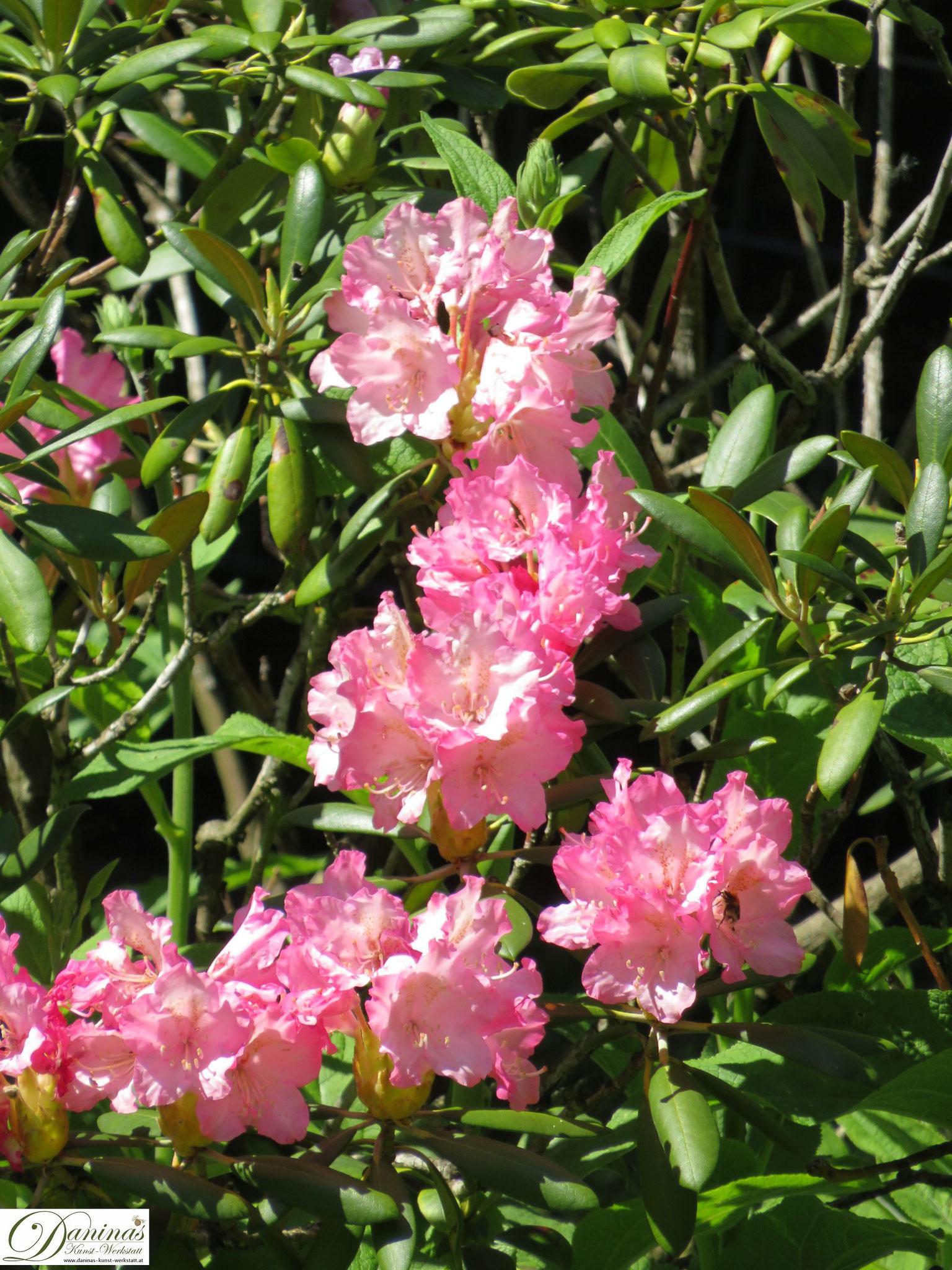 Rhododendron rosa - Garten Impressionen im Frühsommer by Daninas-Kunst-Werkstatt.at