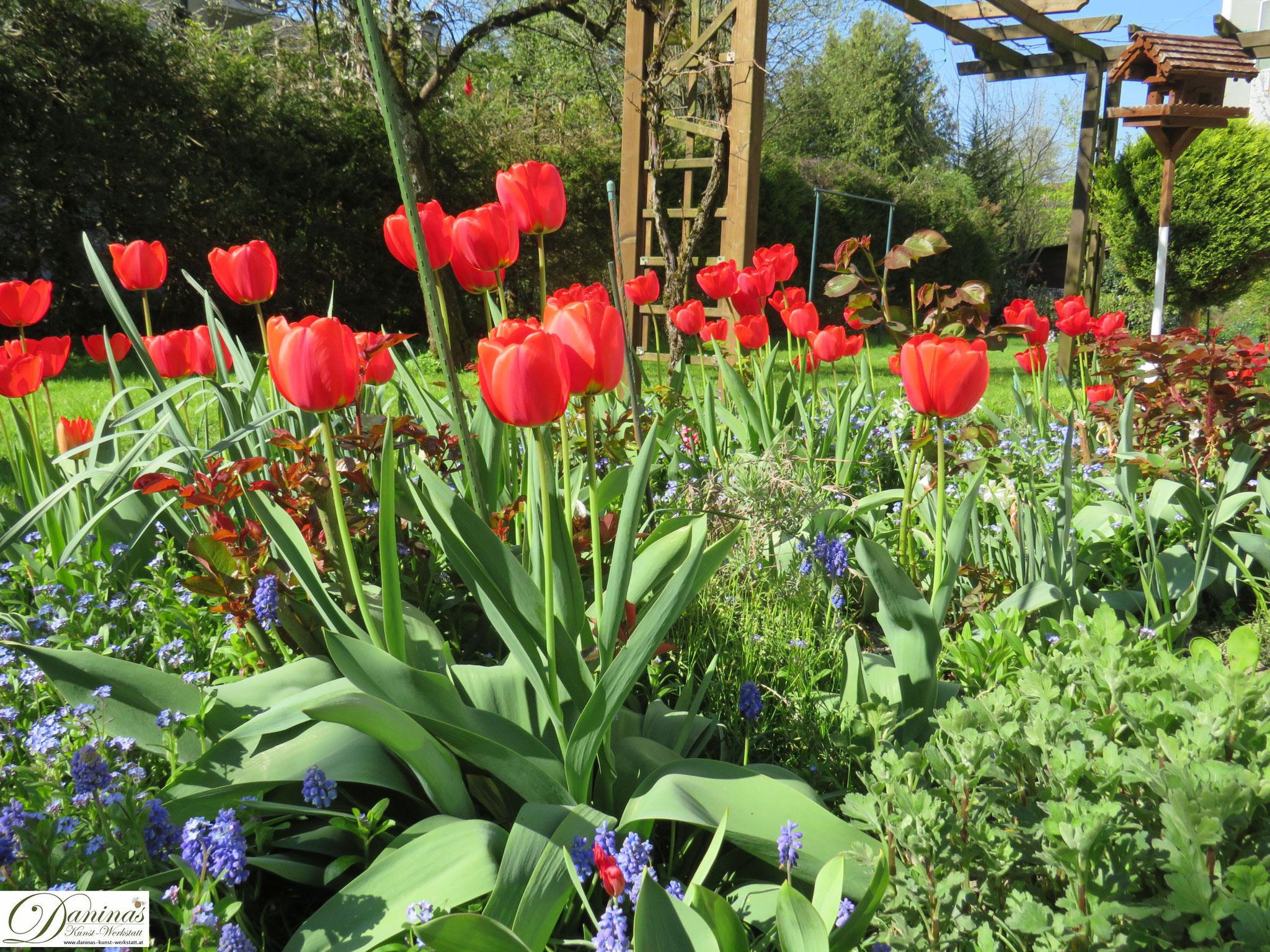 Garten im Frühling - Frühlingsblumen im Beet. Tulpen, Rose, Traubenhyazinthen & Vergissmeinnicht