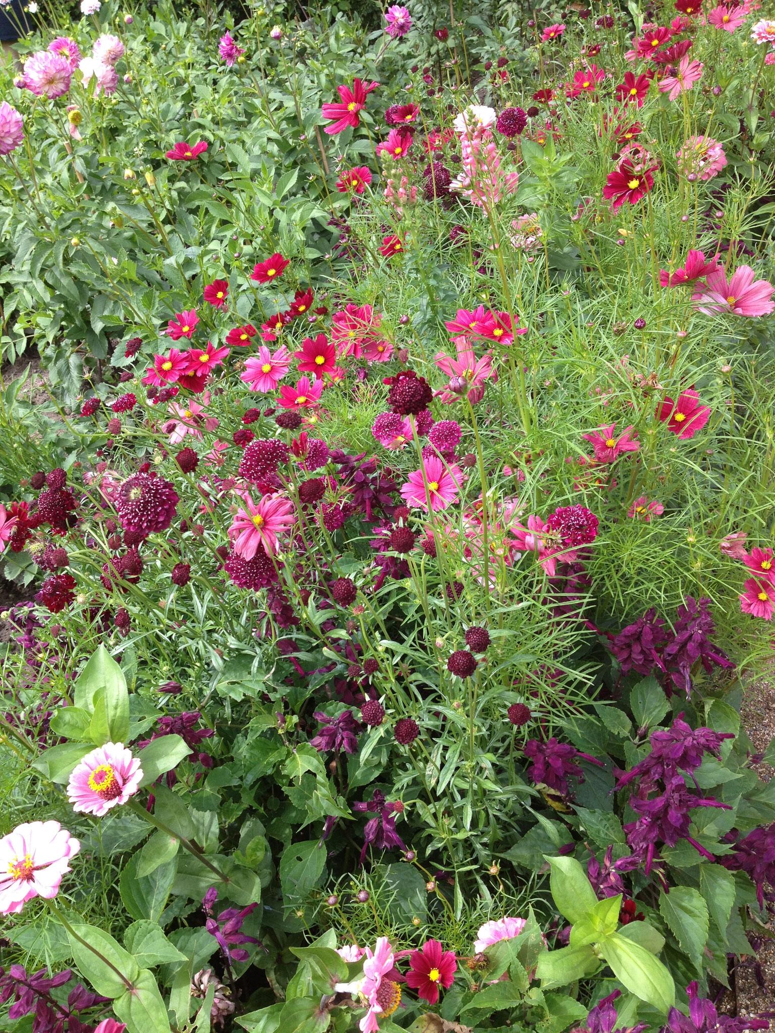 Blumenbeet mit Kosmeen