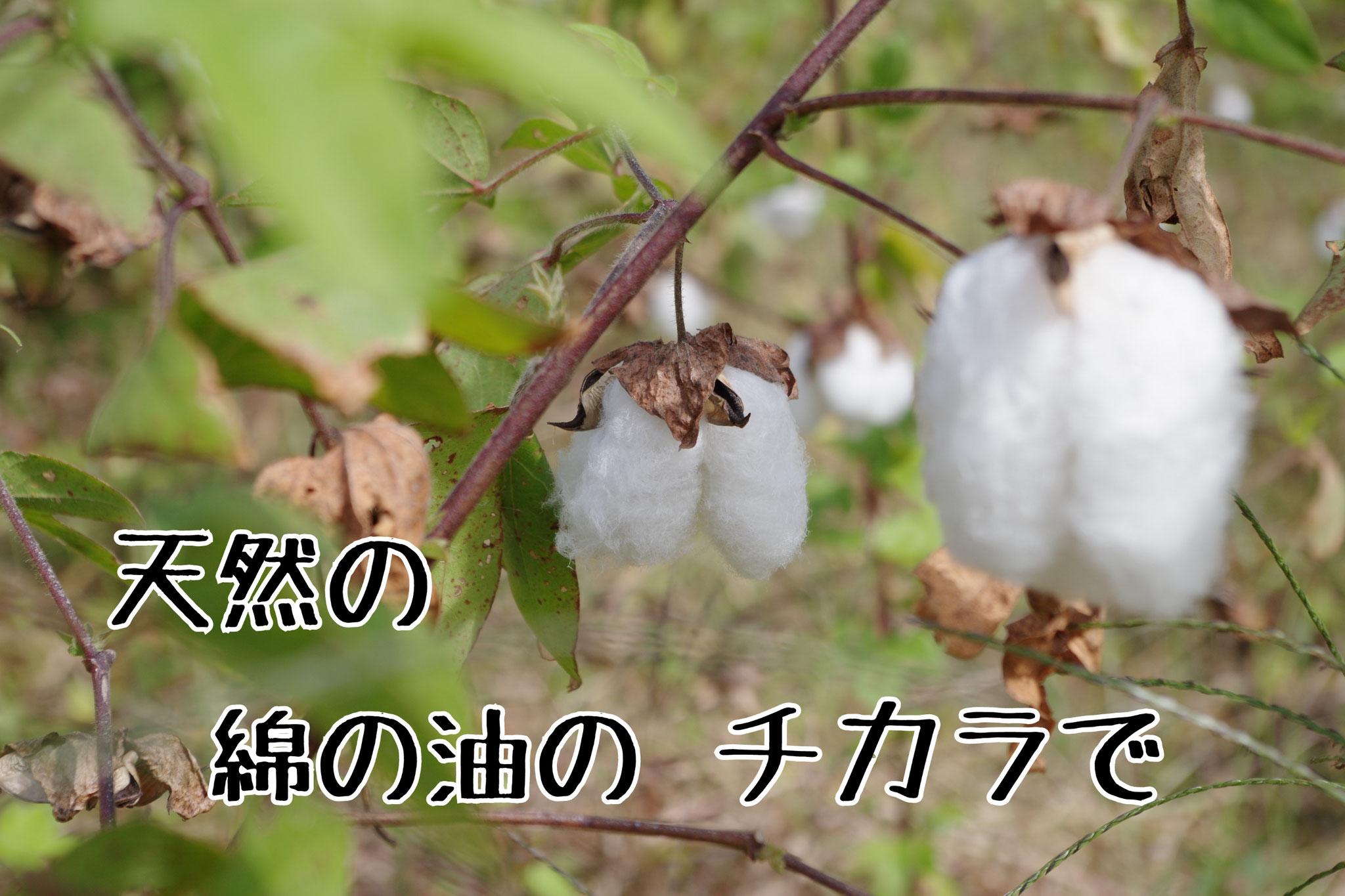 和綿がもともと持っている綿実油は食用にも使われています