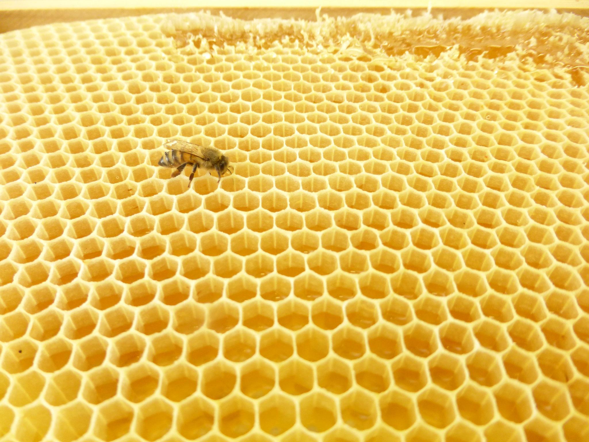 Eines unserer fleissigen Bienchen