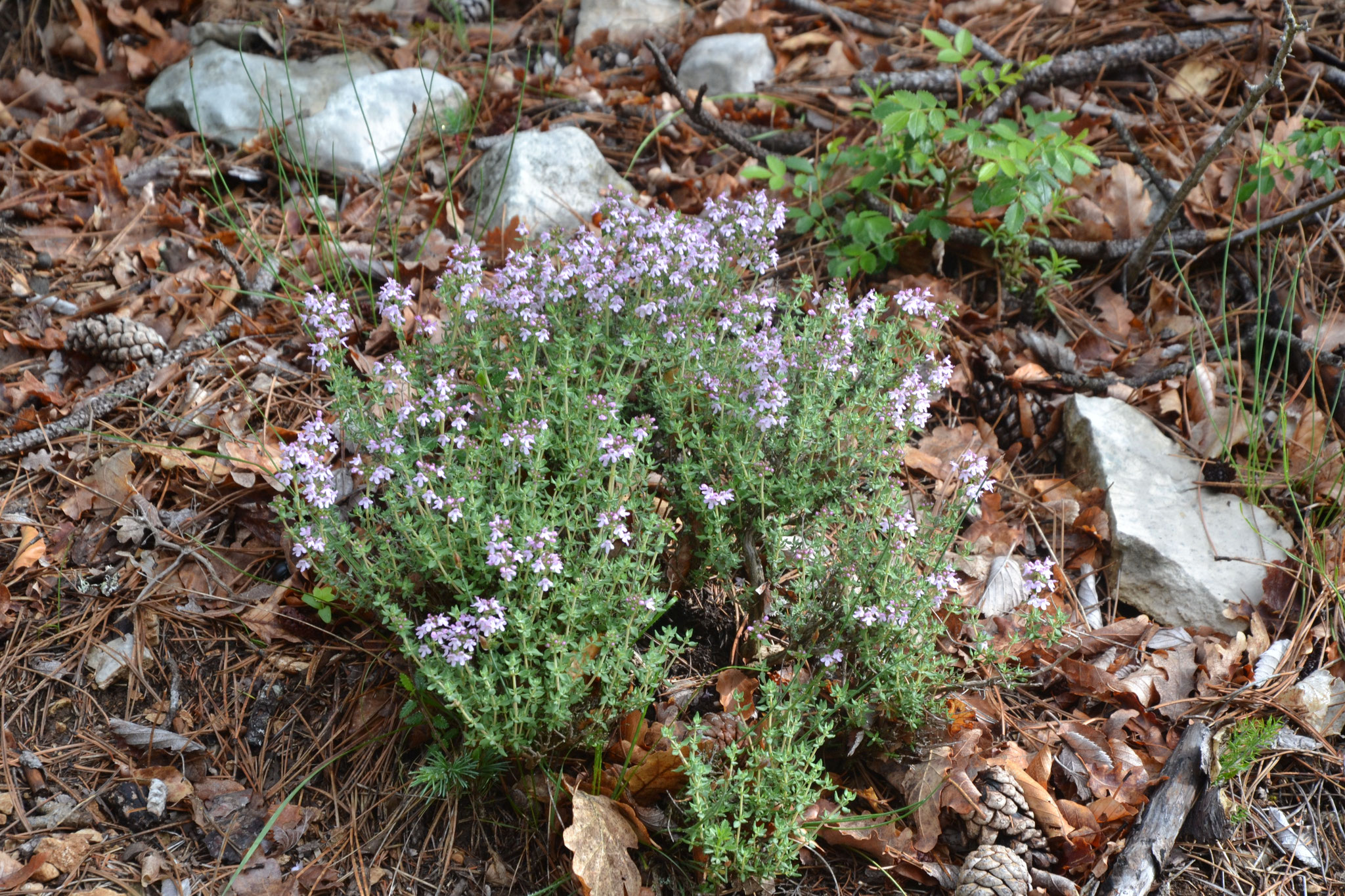 Thym - Thymus vulgaris - Lamiaceae