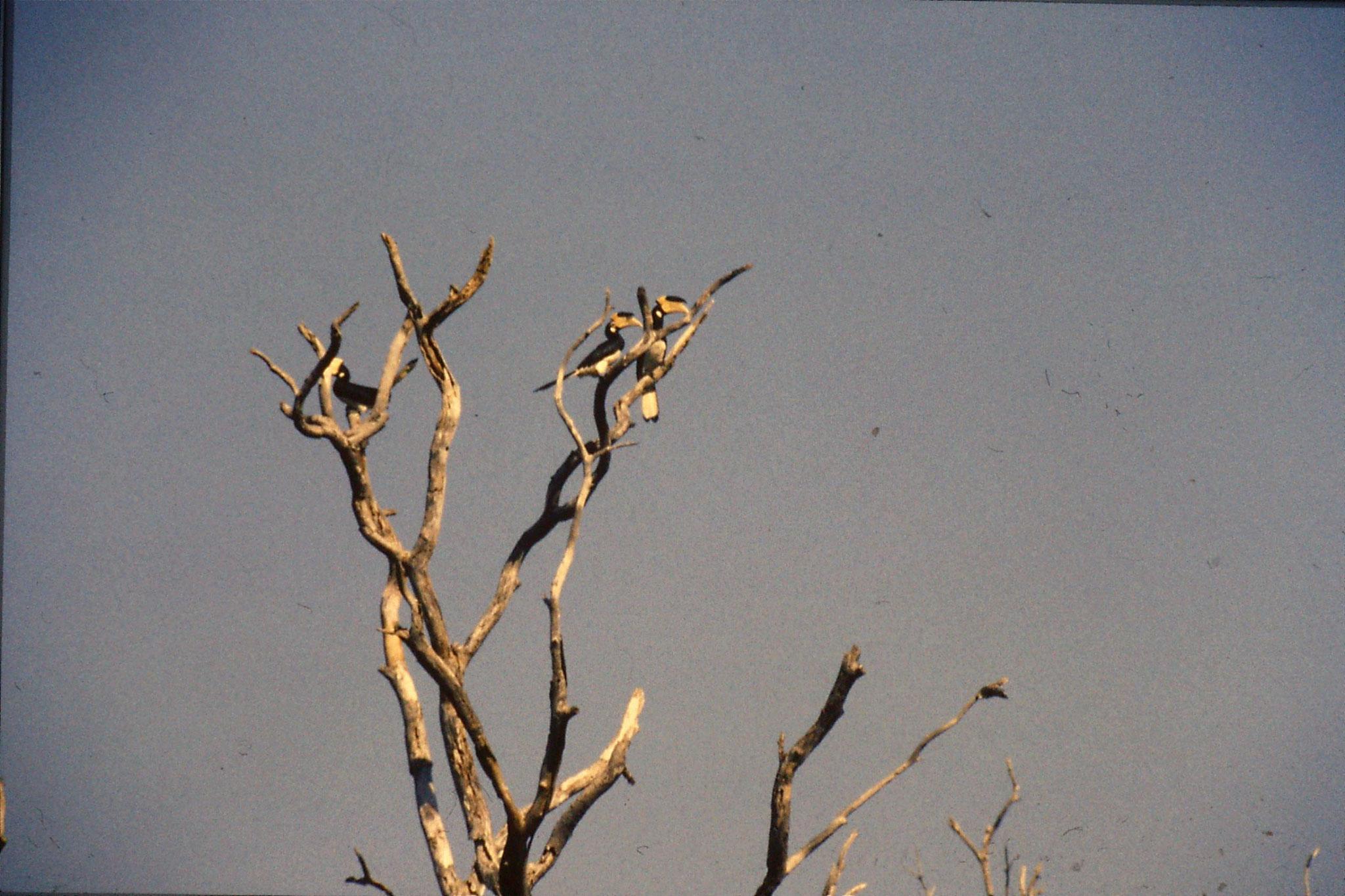 28/1/1989: 34: Uda Walawe Malabar Pied Hornbill