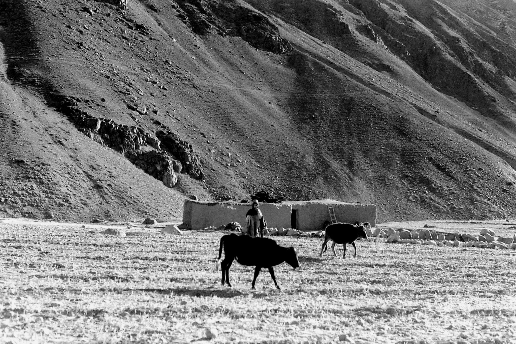 26/10/1989: 9: Barsat, woman and 2 cows in field