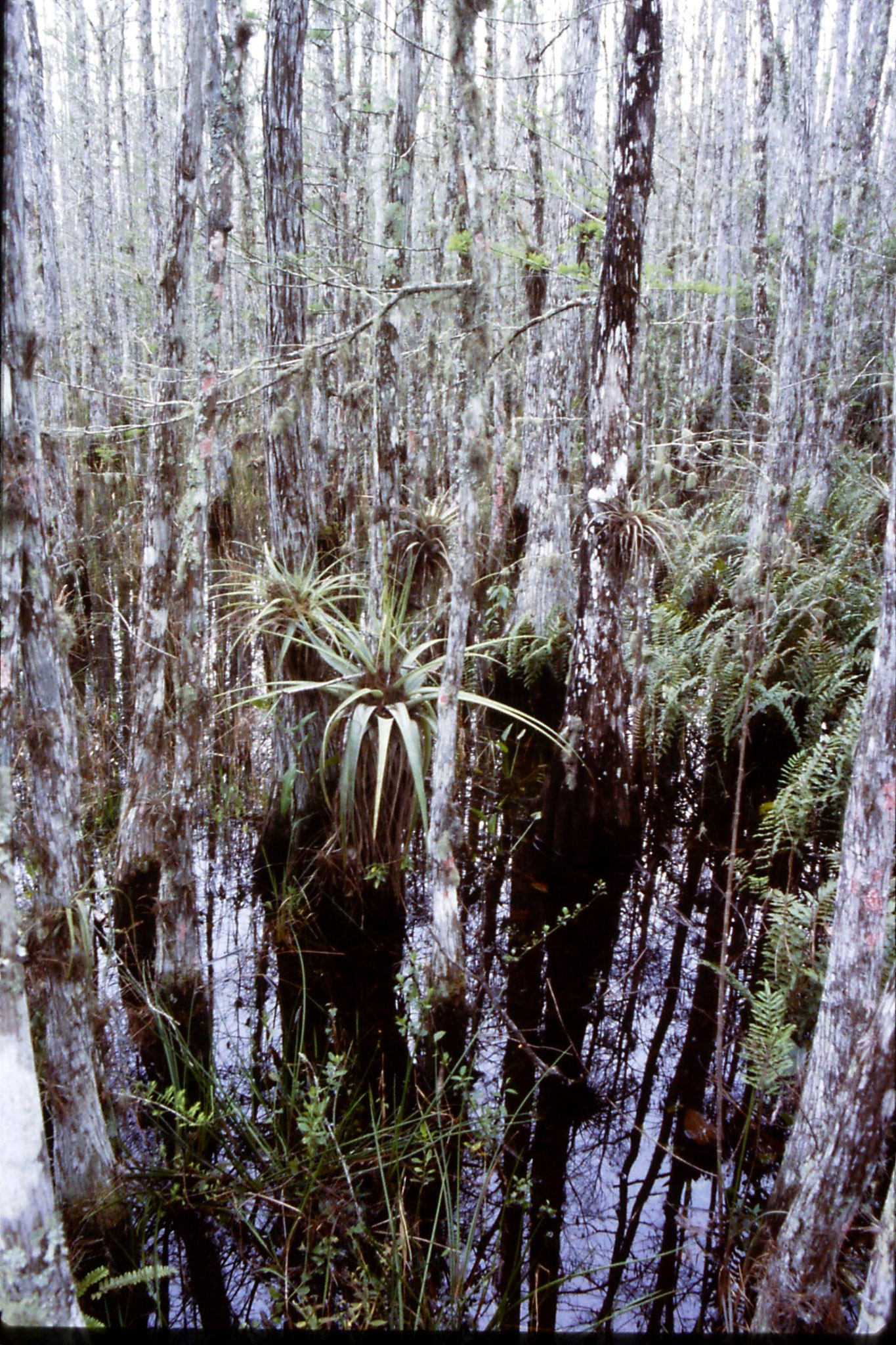 25/2/1991: 16: Corkscrew Swamp