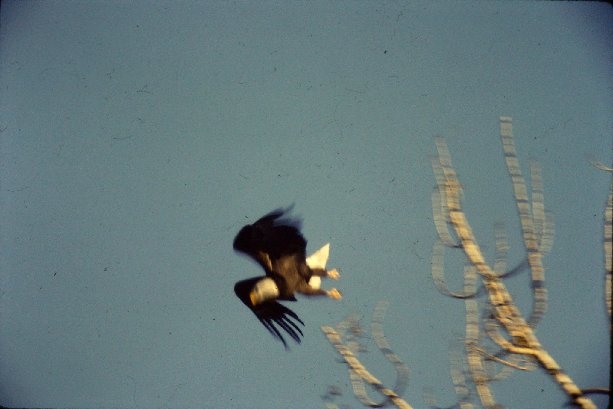 23/1/1991: 21: bald eagles