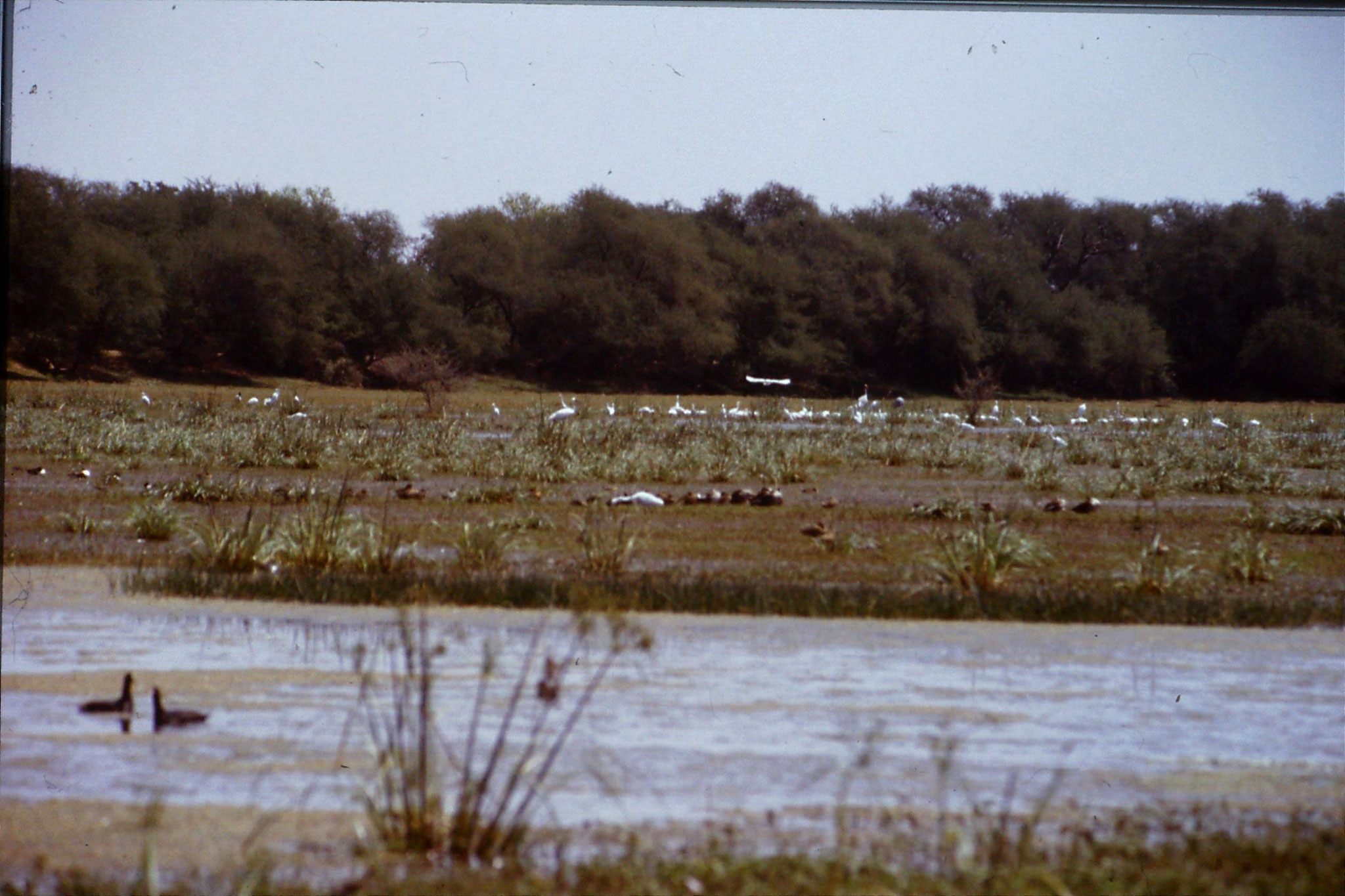 109/14: 1/4/1990 Bharatpur - Siberian crane in distance