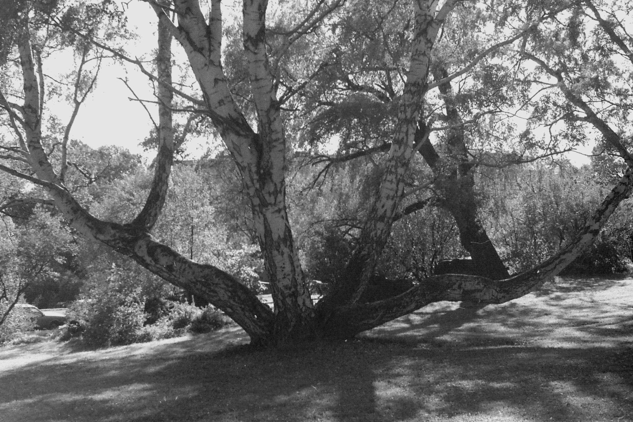 30/9/1988: 6: birch tree trunks