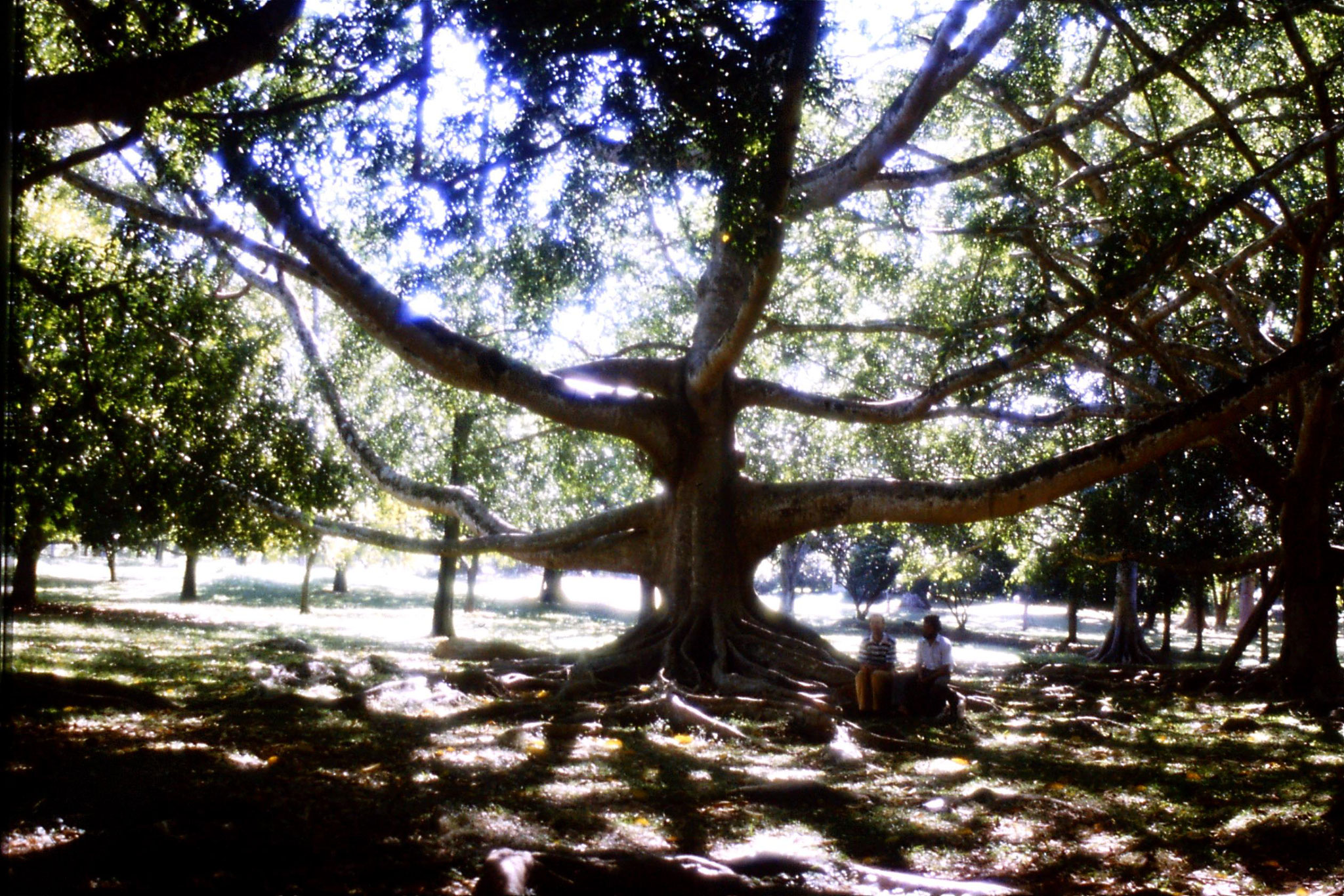 5/2/1990: 17: Kandy Botanical Gardens Ficus Benjamina Aisam