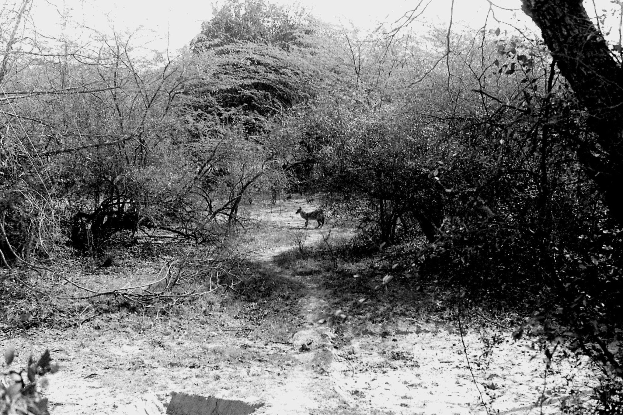 1/4/1990: 4: Bharatpur fox