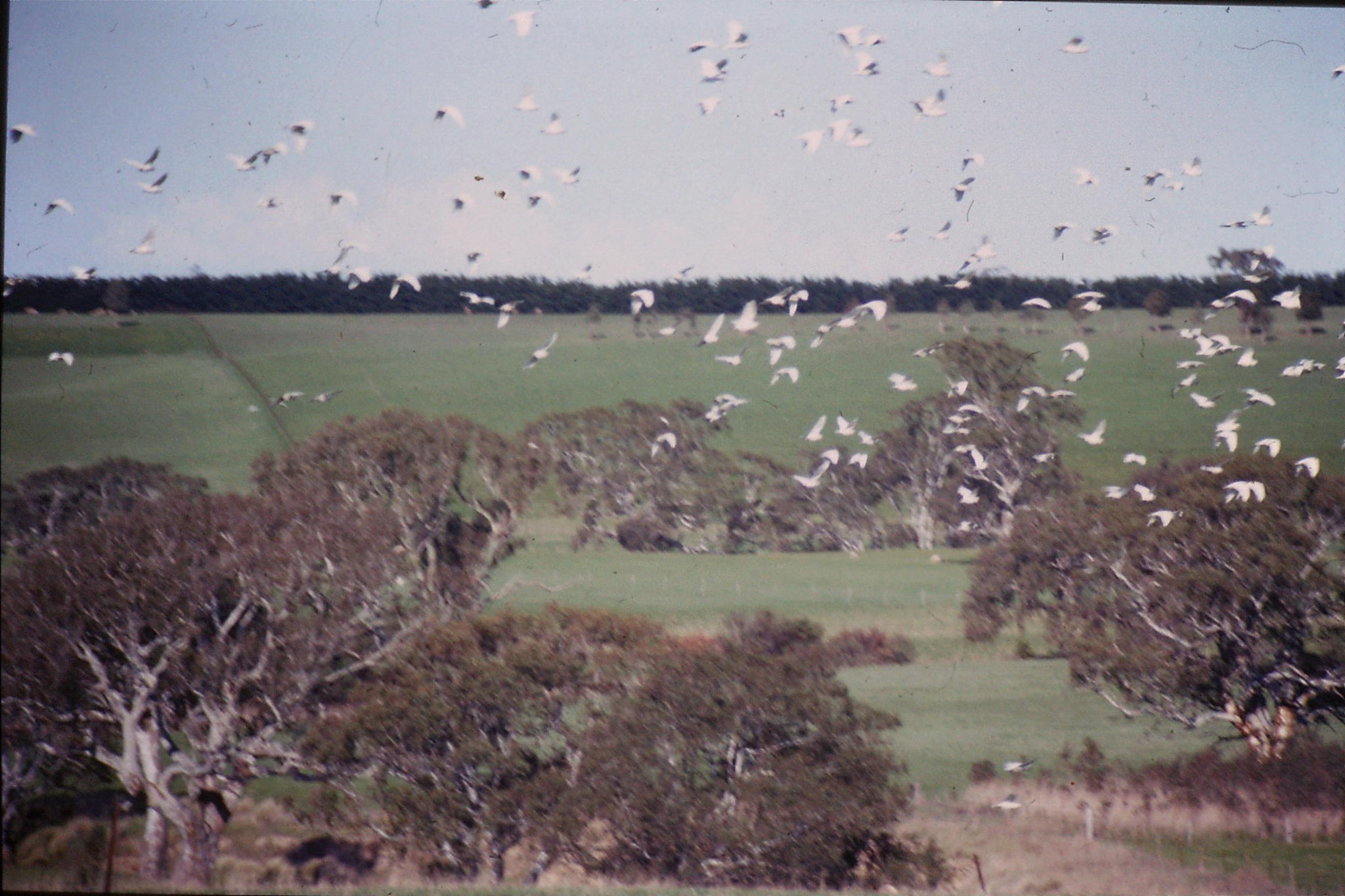 20/9/1990: -1: on road to Grampians, flock of Corellas