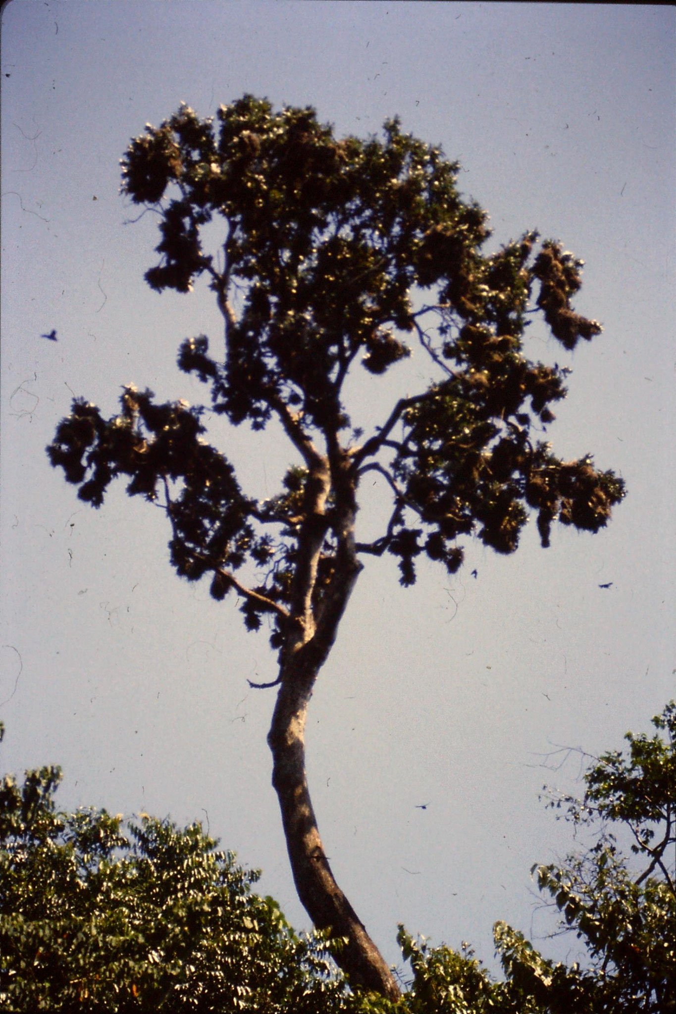 26/10/1990: 17: Cape Tribulation, metallic starling nest colony