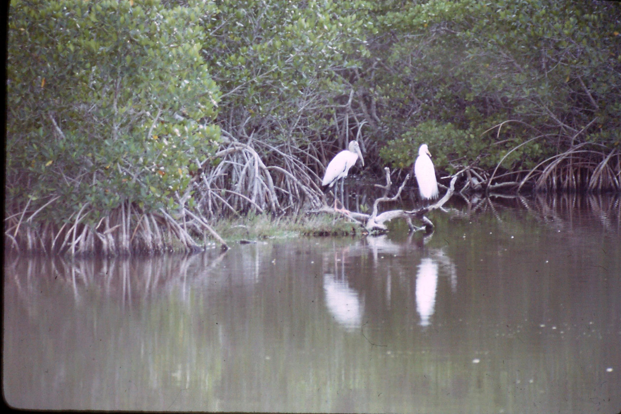 5/1/1991: 26: woodstork and great egret