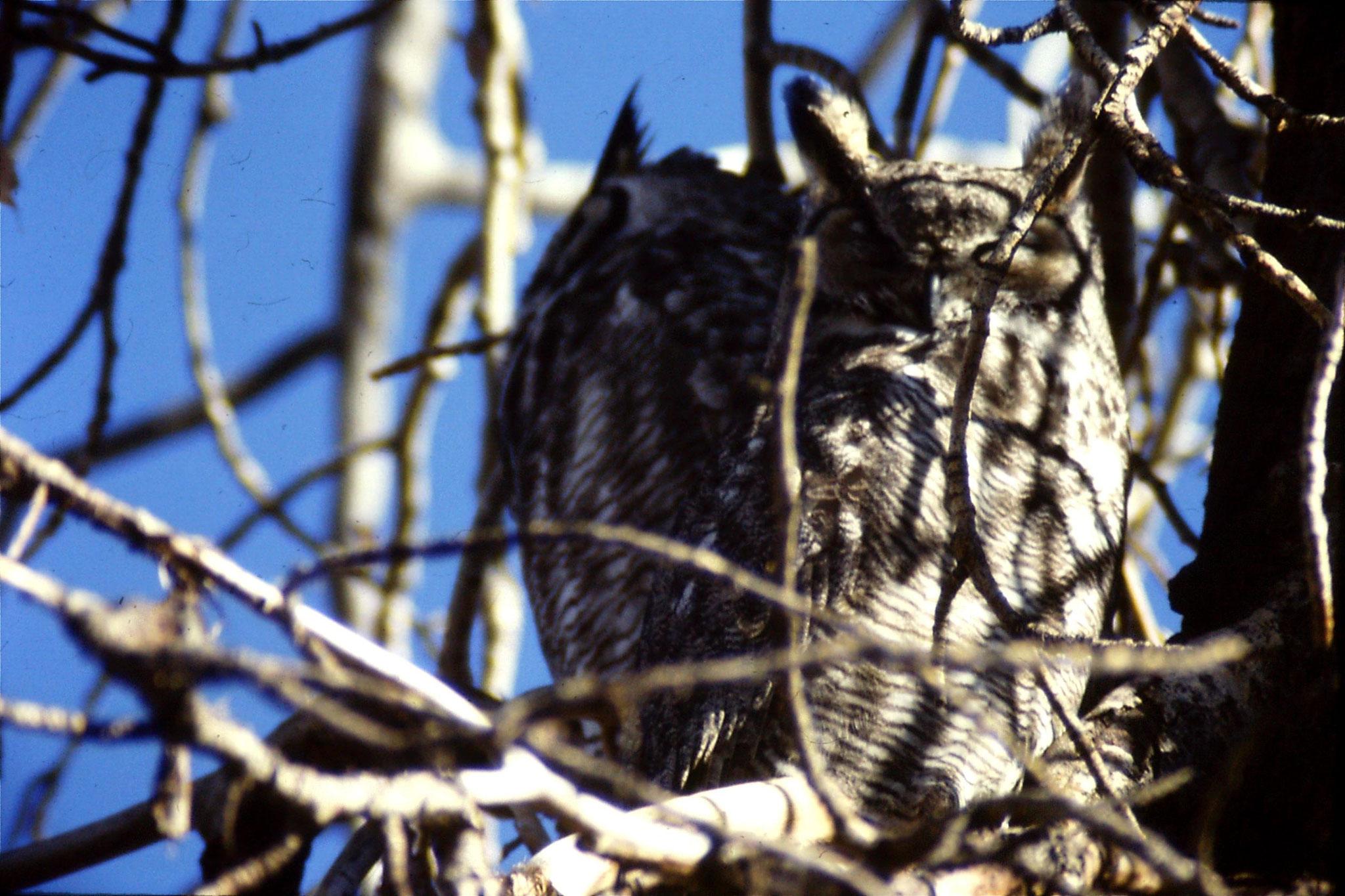 23/1/1991: 24: Gt Horned owls