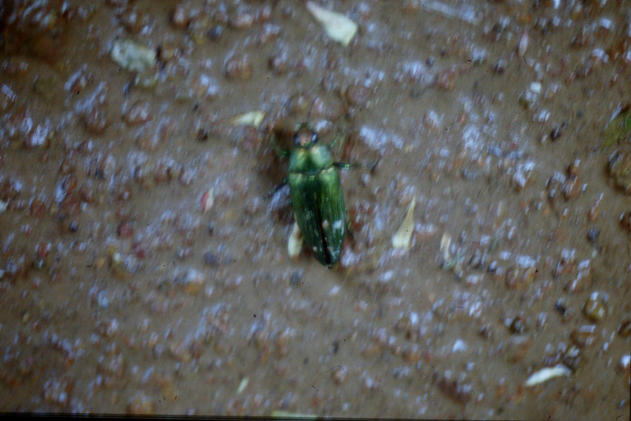 28/5/1990: 12: beetle in Mut Mee guesthouse garden