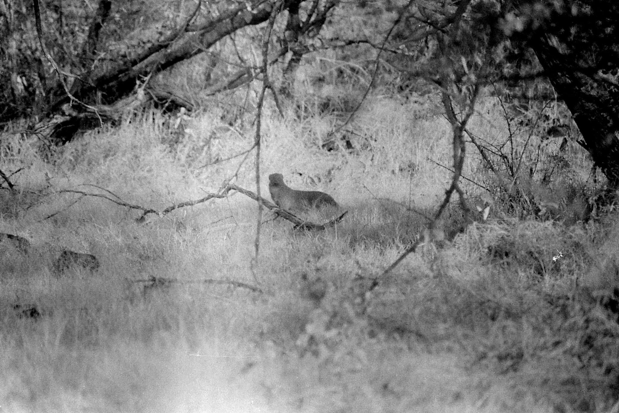 12/12/89 : 0: Sasan Gir: Mongoose