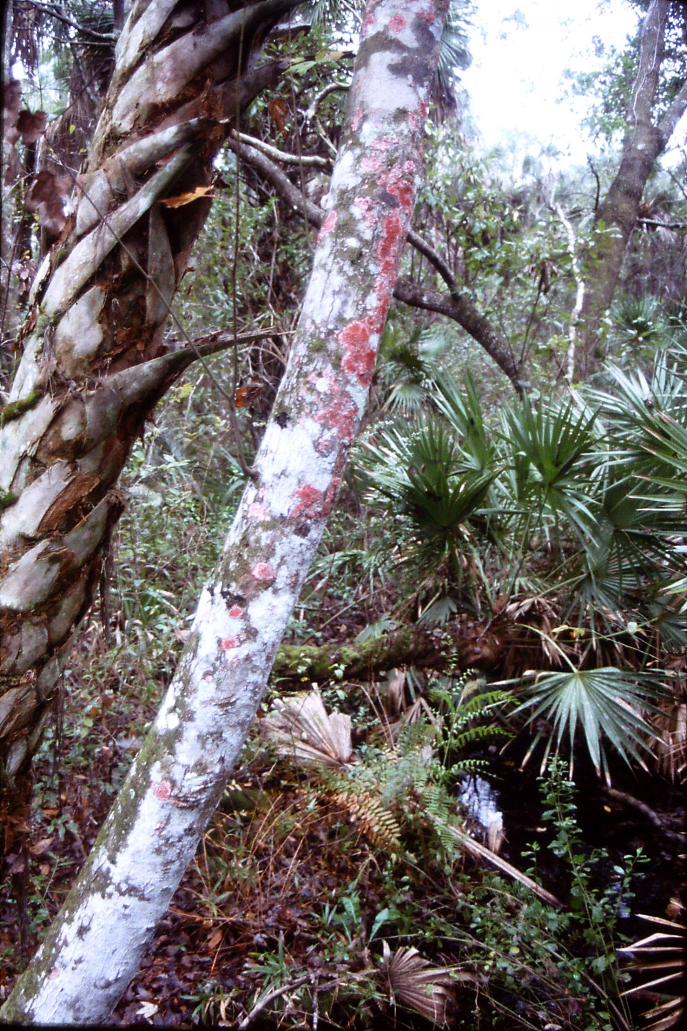 2/1/1991: 15: Alexander Springs, tree with Baton Rouge lichen