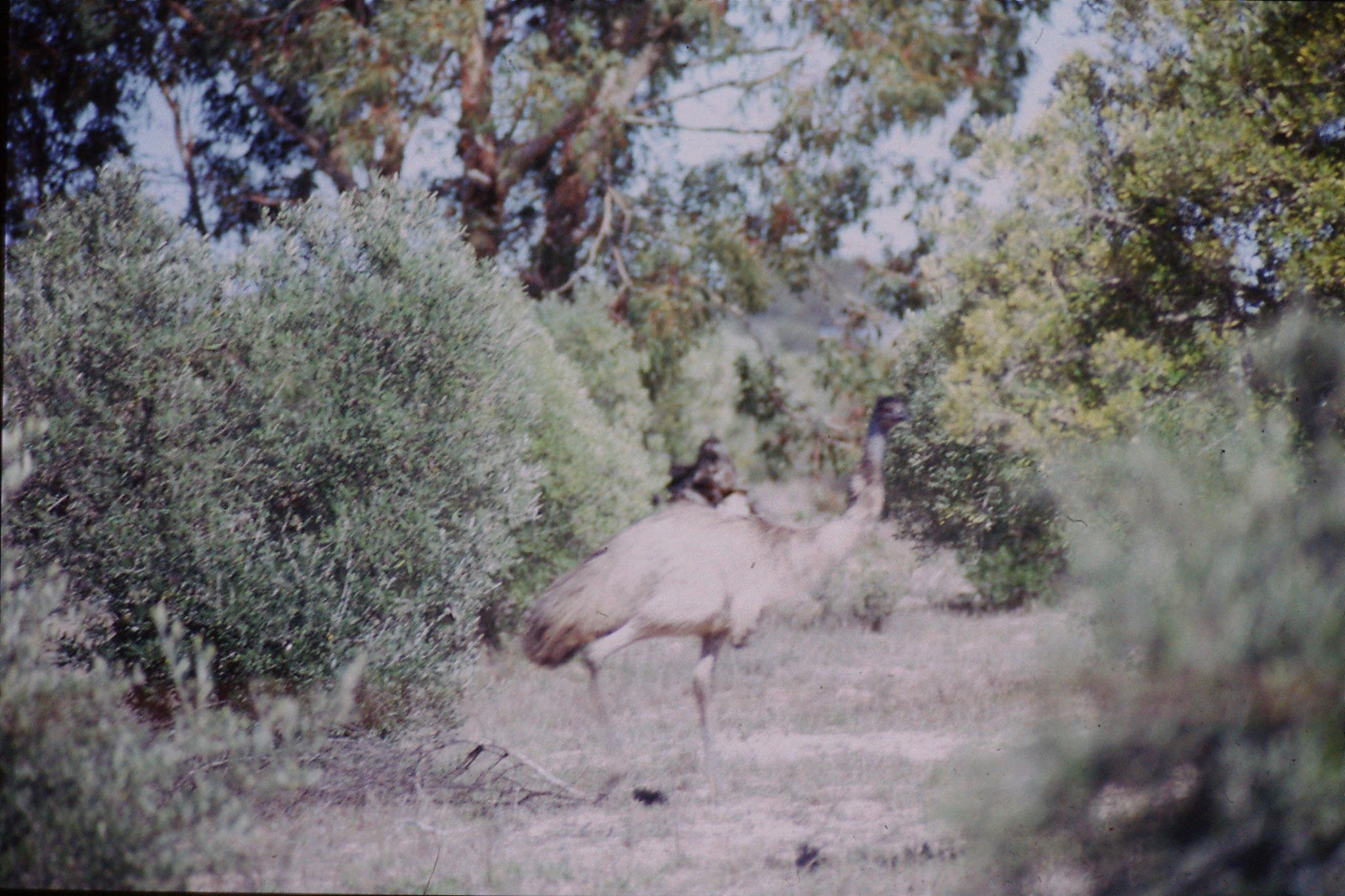 23/9/1990: 13: Little Desert, emu
