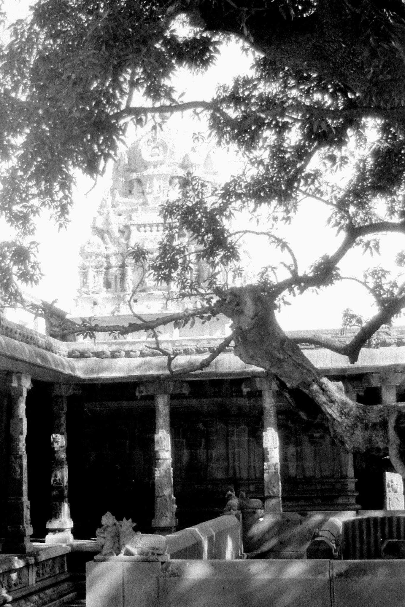 19/1/90: 15: Kanchipuram - Ekambareswarar temple - part of 3,500 year old mango tree
