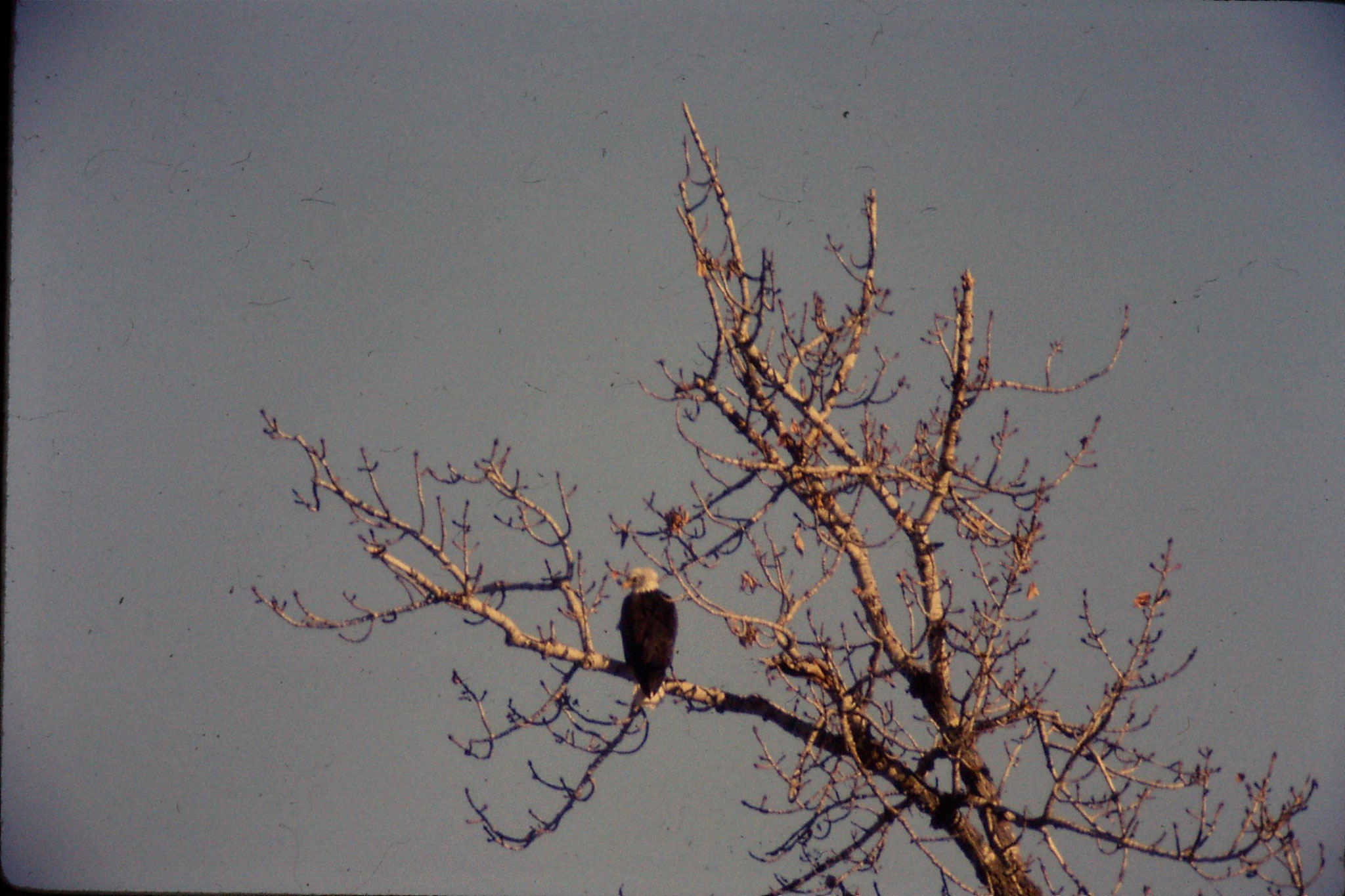 23/1/1991: 22: bald eagles