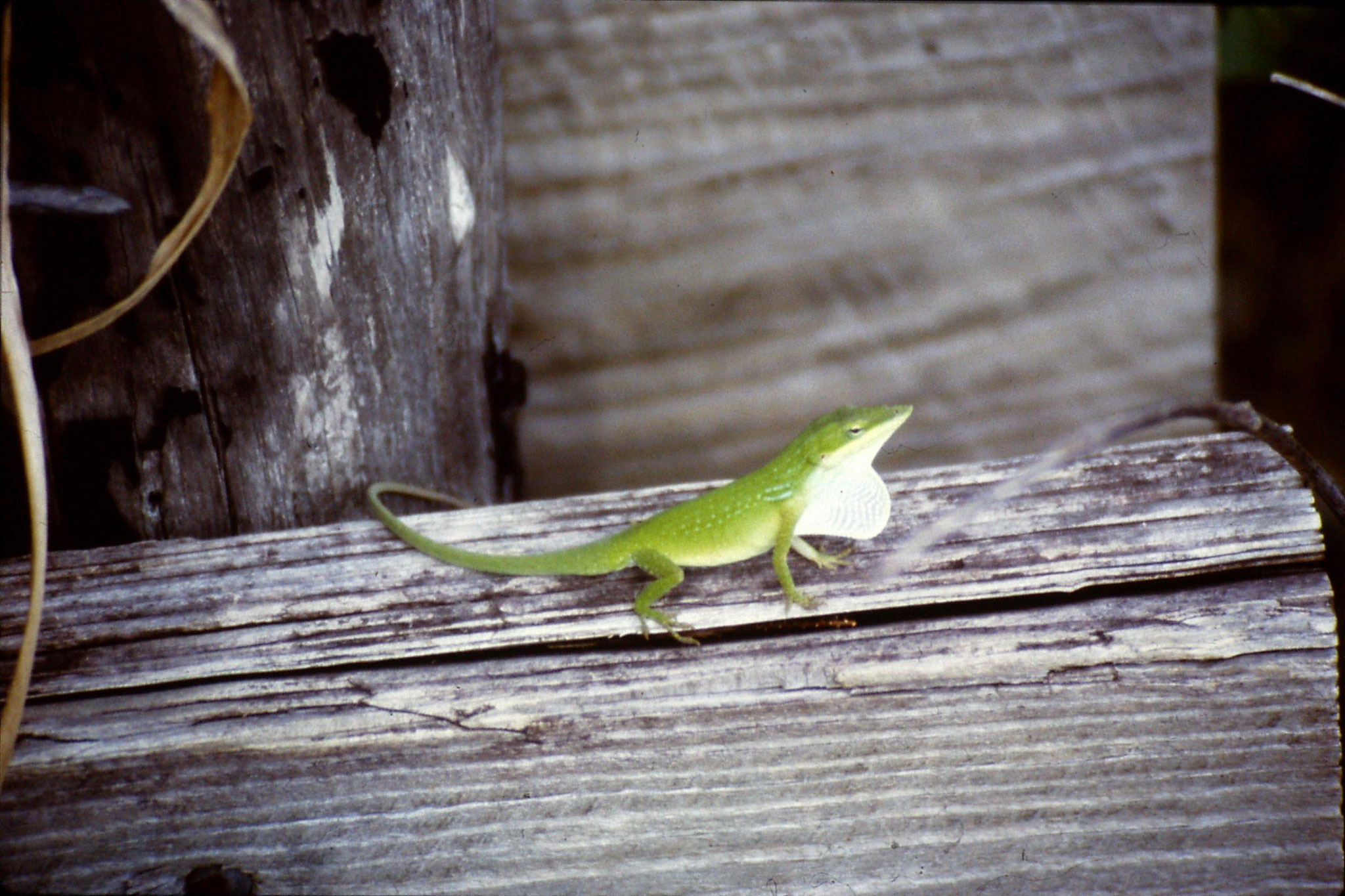 25/2/1991: 9: Corkscrew Swamp green anole lizard