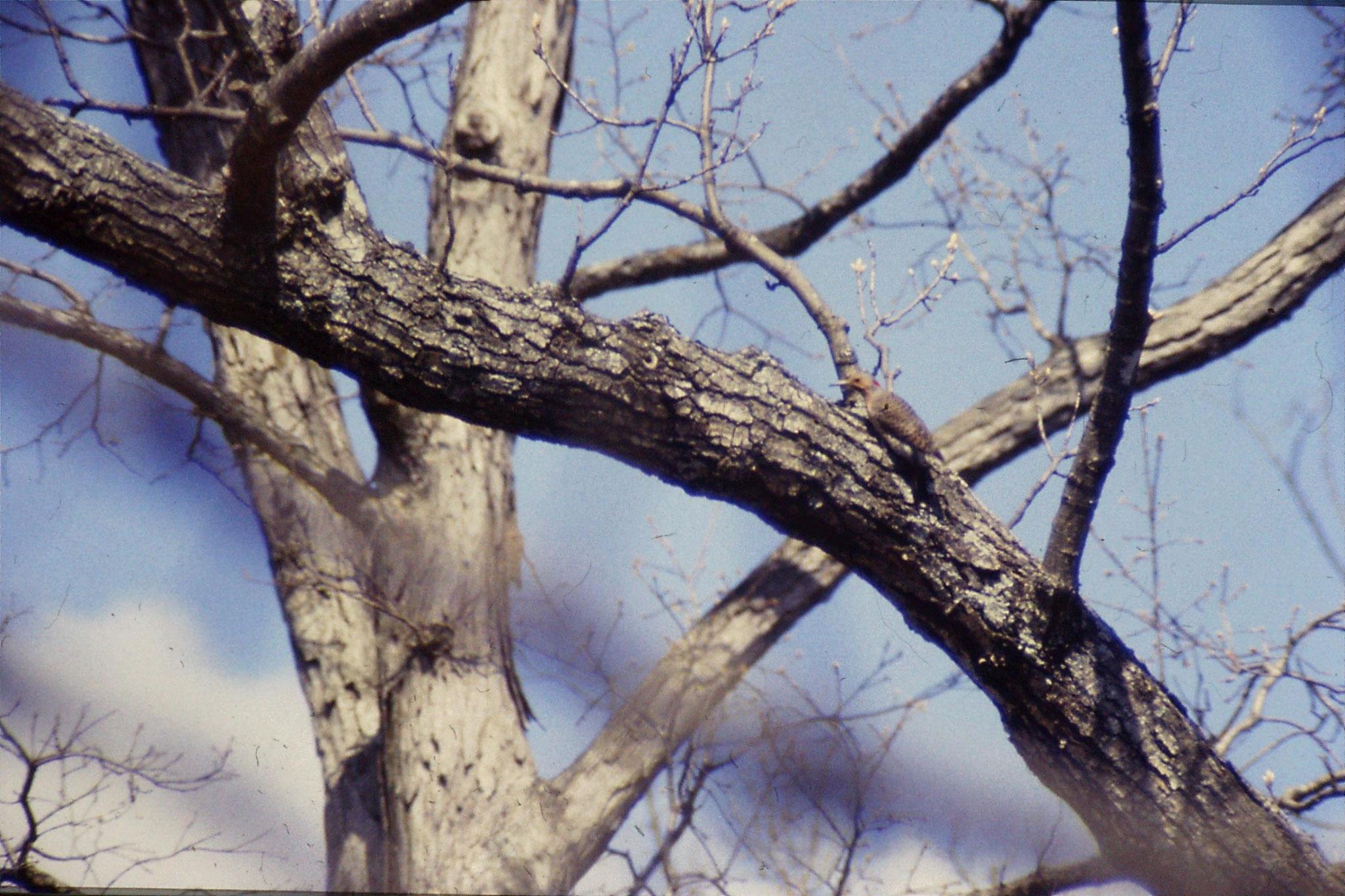 26/3/1991: woodpecker