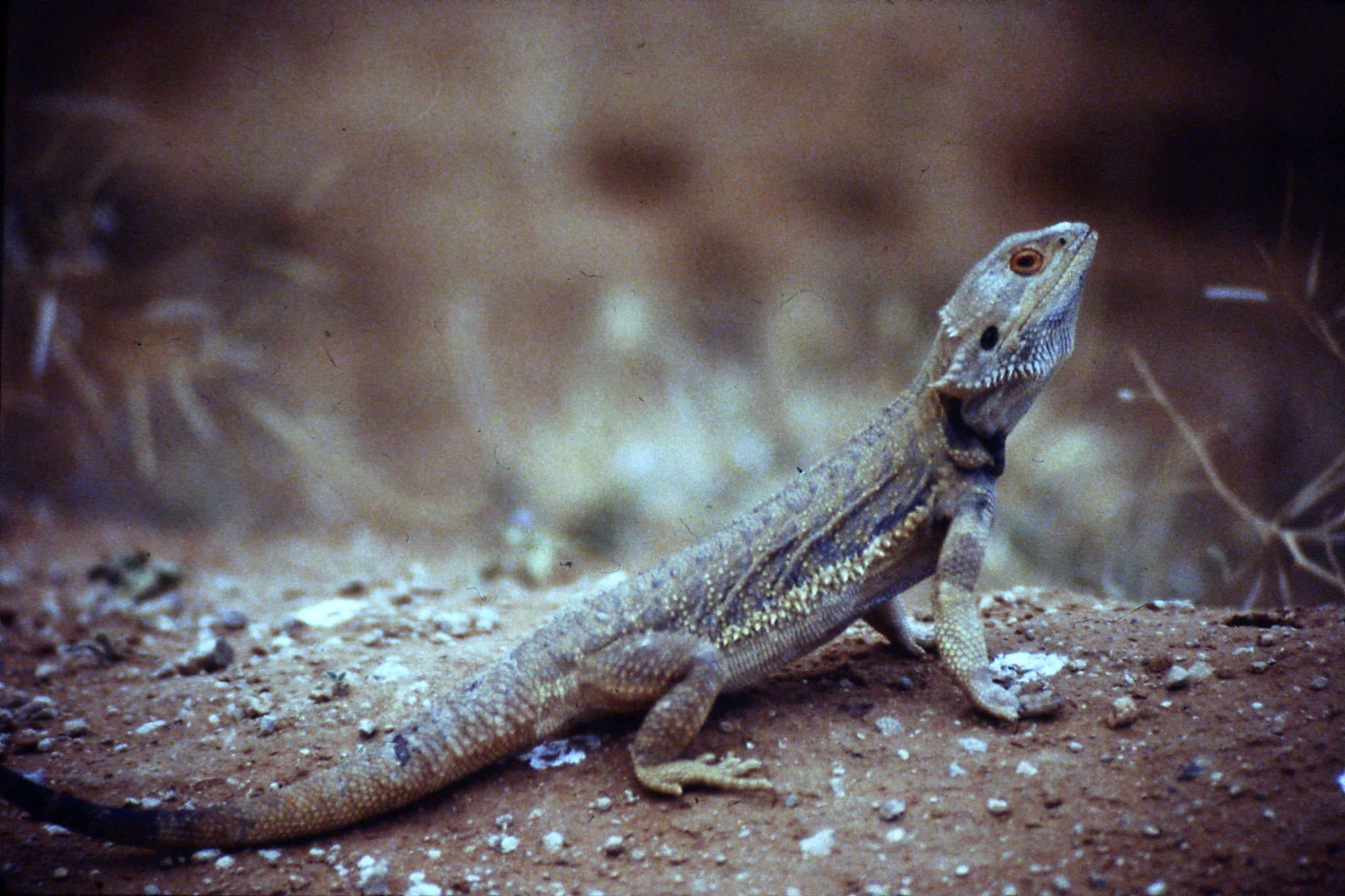 3/11/1990: 23: lizard 2ft near Merindee