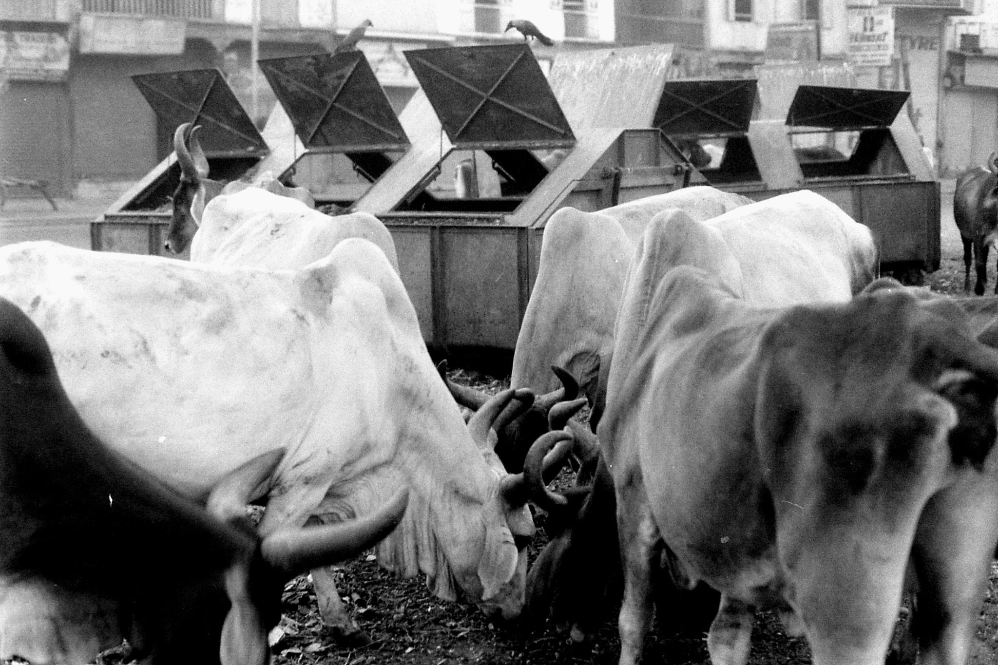 10/12/1989: 21: Ahmedabad cows fighting over rubbish