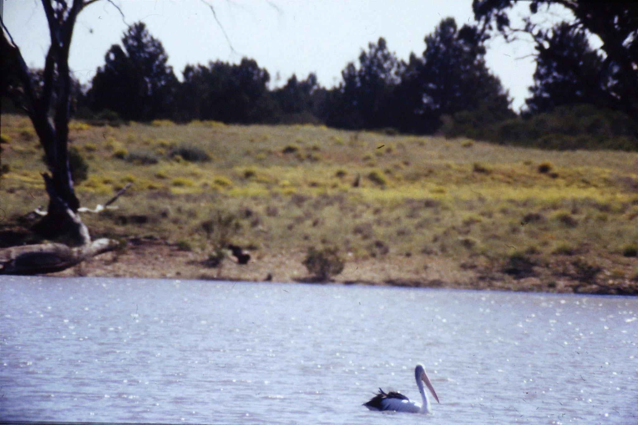 24/9/1990: 7: Hattah Kulkyne, pelican