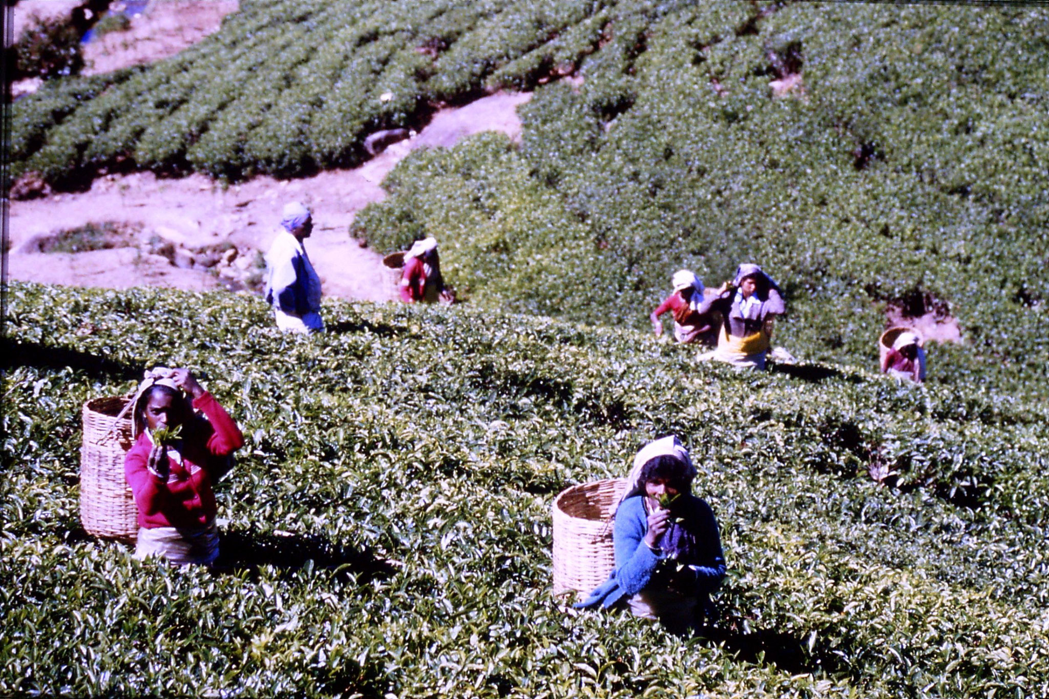 3/2/1990: 4: north of Nuwara Eliya, tea fields