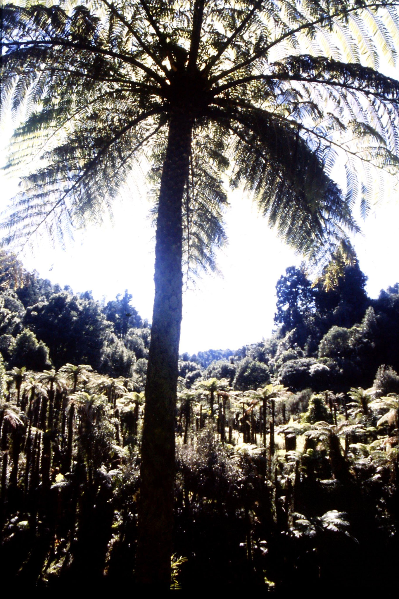 29/8/1990: 35: Tangarakau, tree ferns