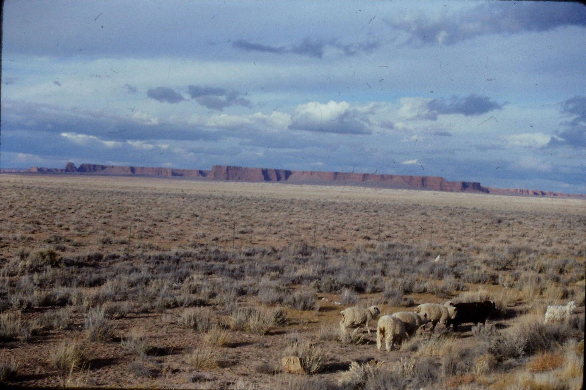 13/12/1990: 14: sheep and cliffs NE of Flagstaff