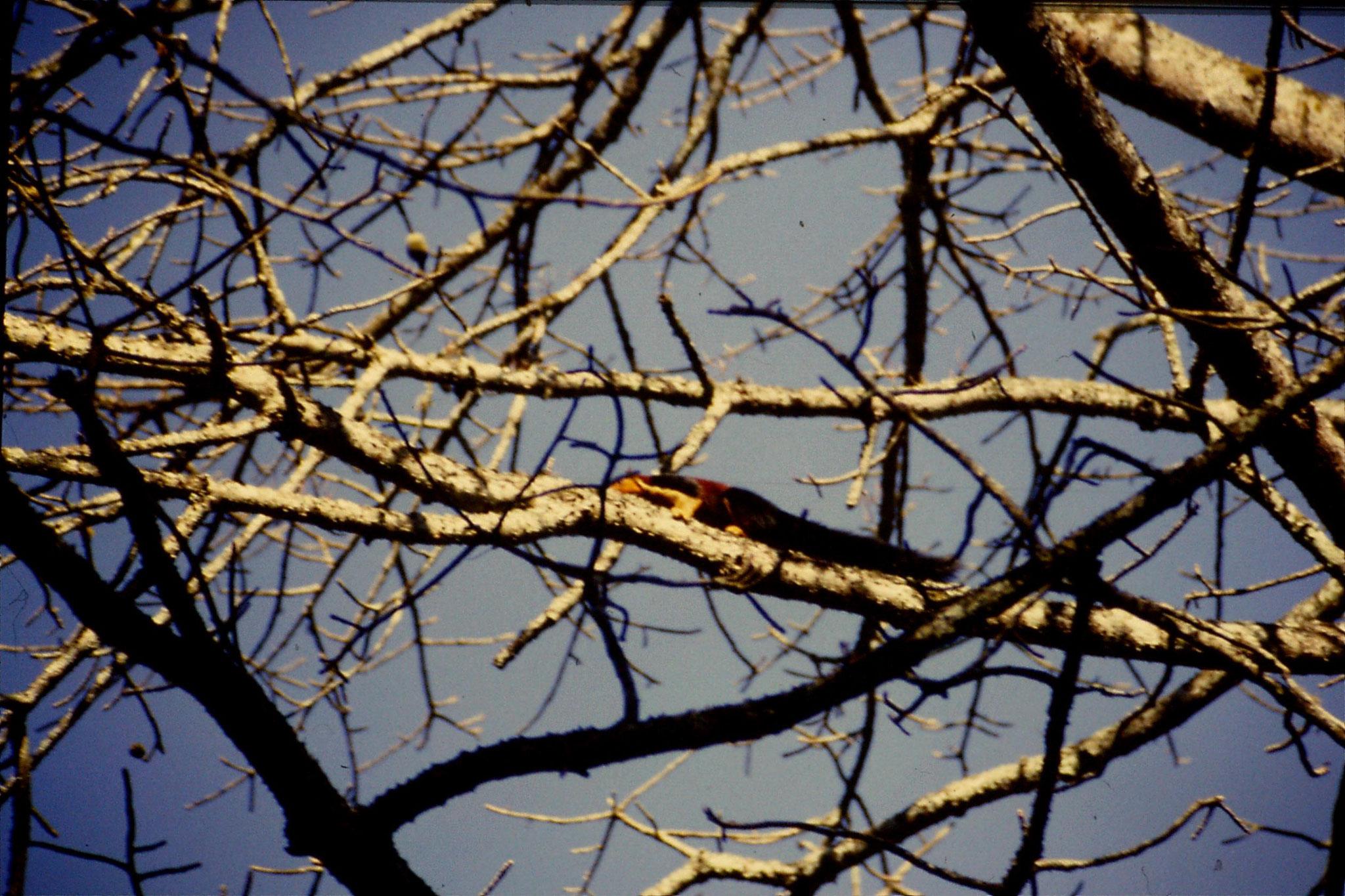104/33: 22/2/1990 Periyar Giant squirrel