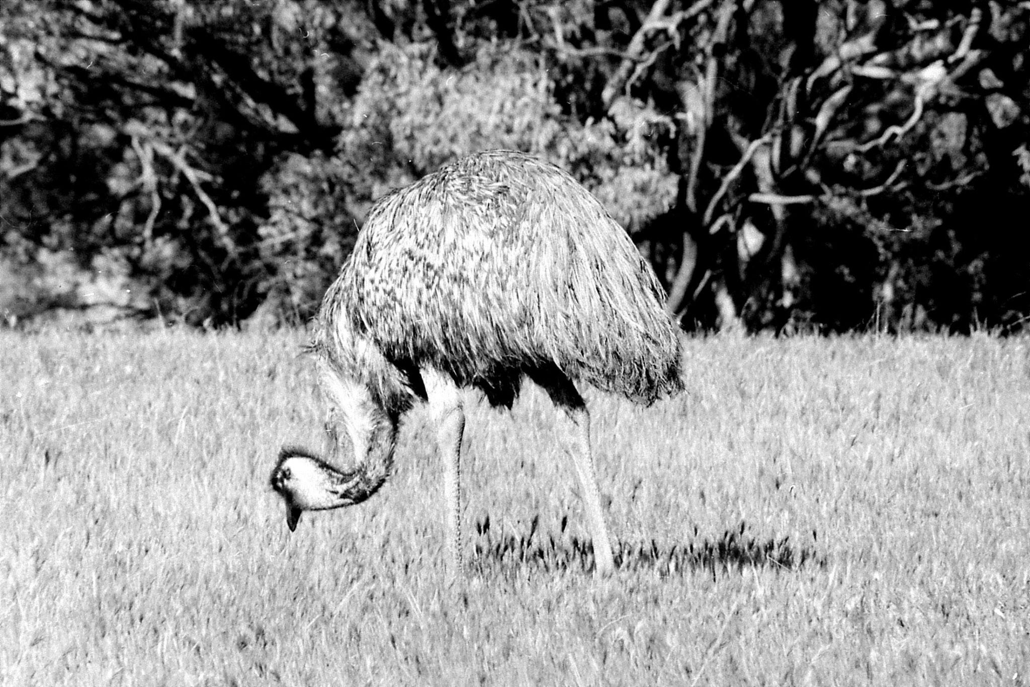 23/9/1990: 14: Wyperfeld, Emu