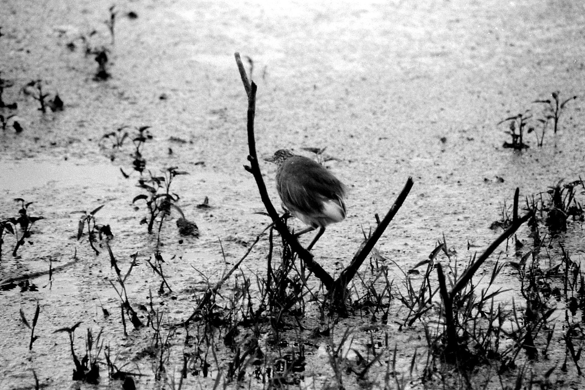 1/4/1990: 23: Bharatpur Pond heron