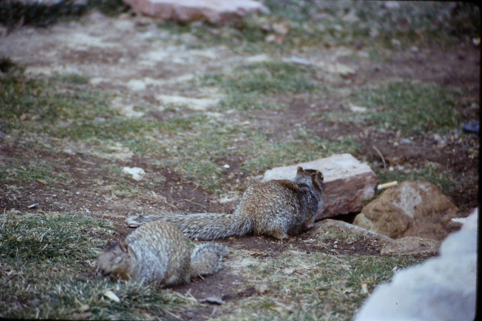 17/12/1990: 1: Abert Squirrels
