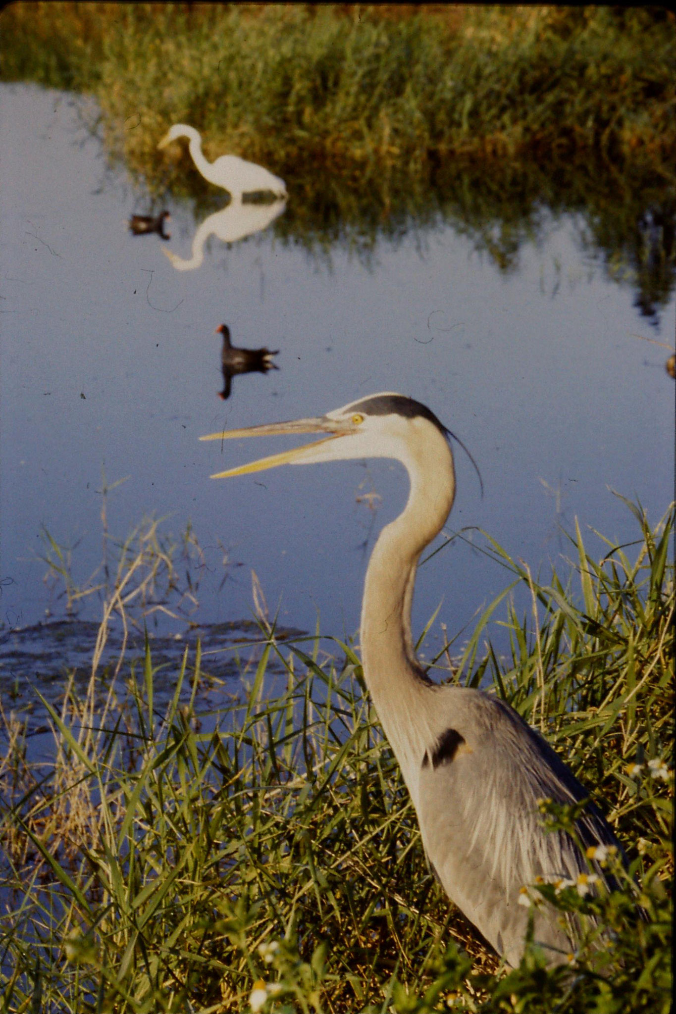 7/3/1991: 26: Loxahatchee Blue Heron