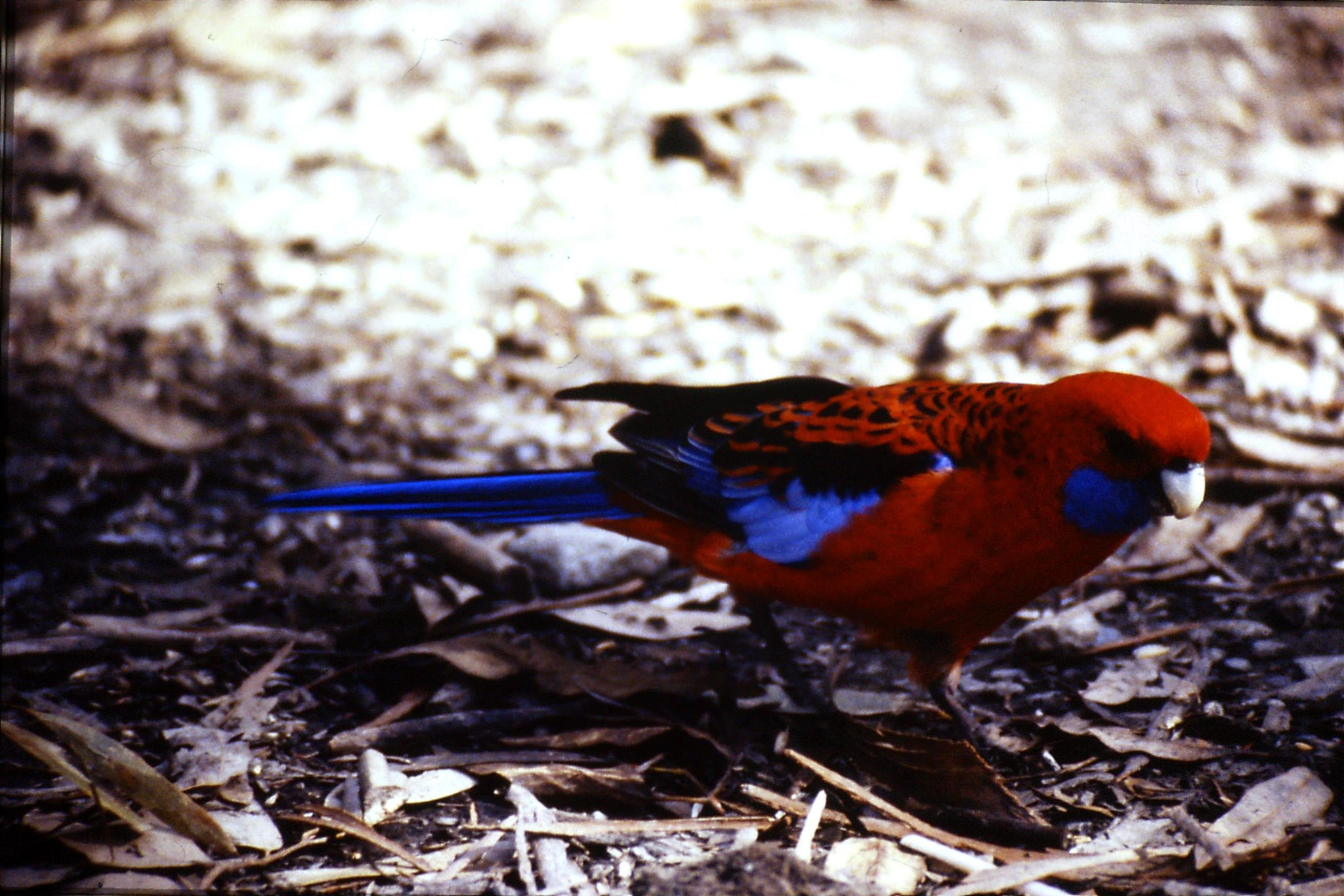 28/9/1990: 35: crimson rosella adult