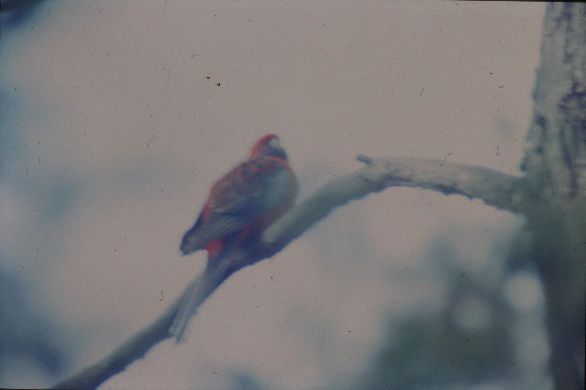 21/9/1990: 2: near Sundial picnic gound, crimson rosella